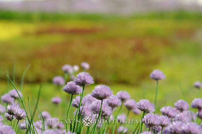 CayugaMedicalCenter-GreenRoof-Chives.jpg