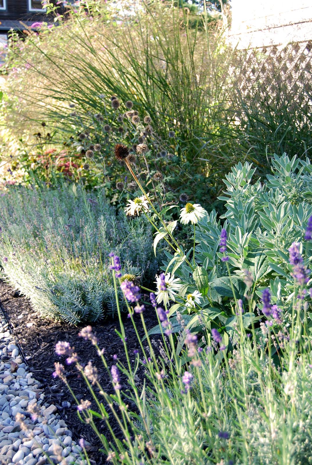 Willard-Beach-Cottage-Garden-lavender.jpg