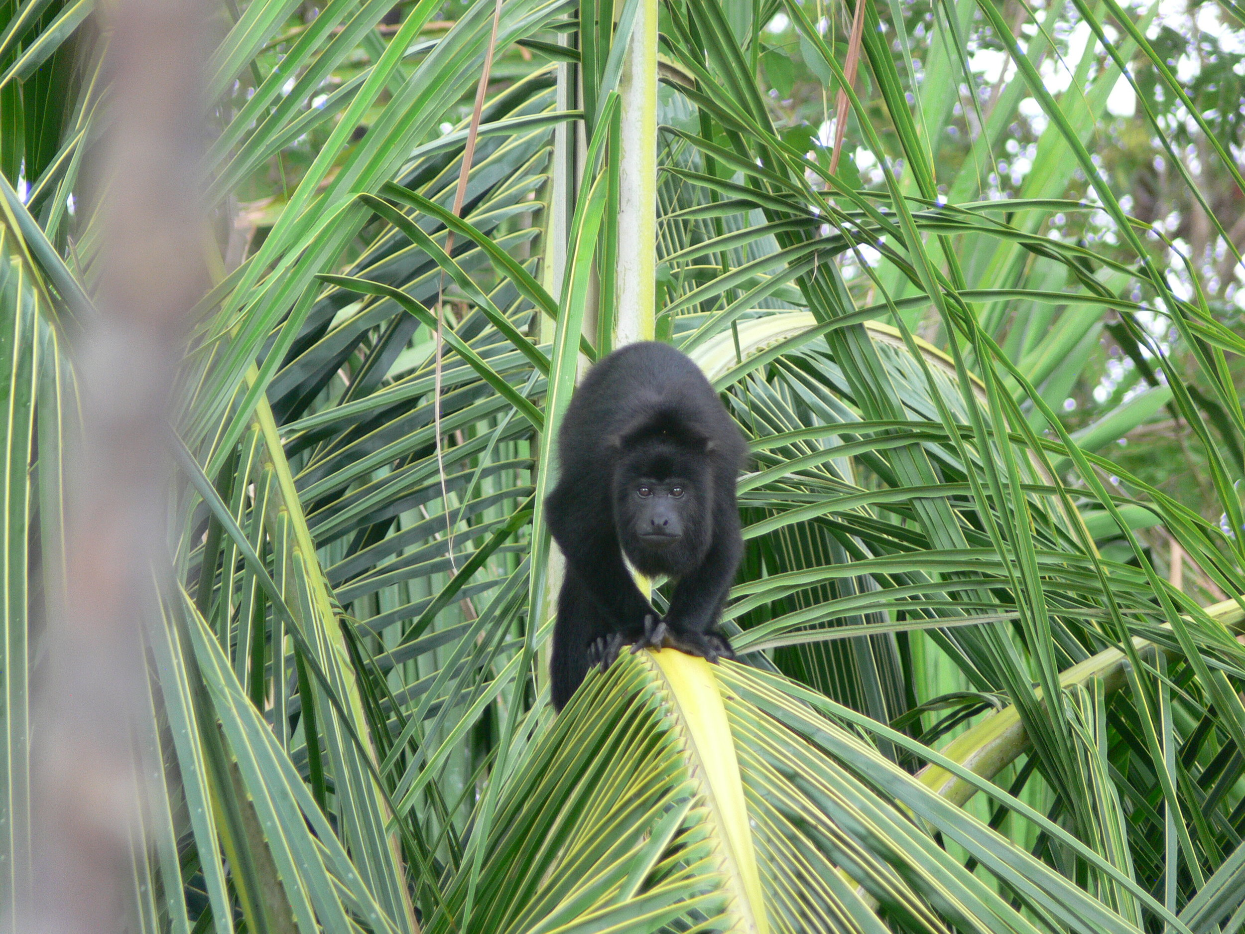Alouatta pigra , the Central American Black Howler monkey, in Belize.