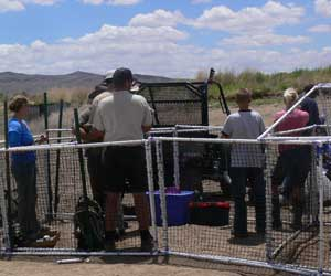 Catching turkey vultures on the Pajarito Plateau.
