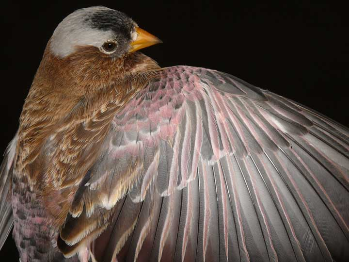 Adult male grey-crowned rosy finch,  photo by Steve Fettig.