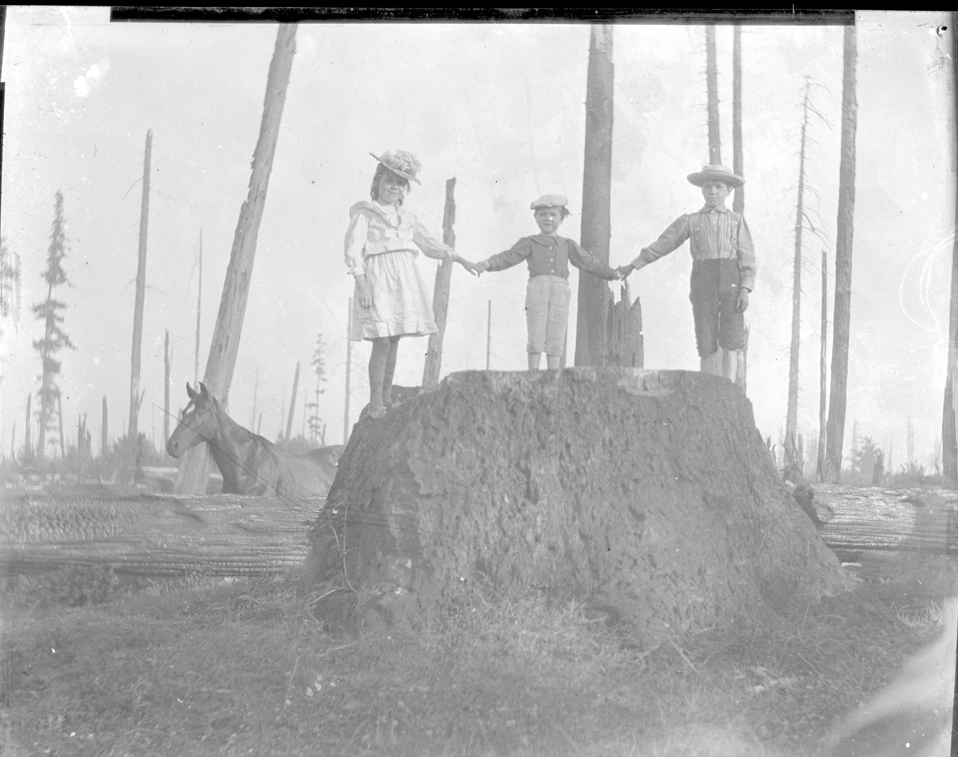 Large old growth trees were removed before farming could begin.