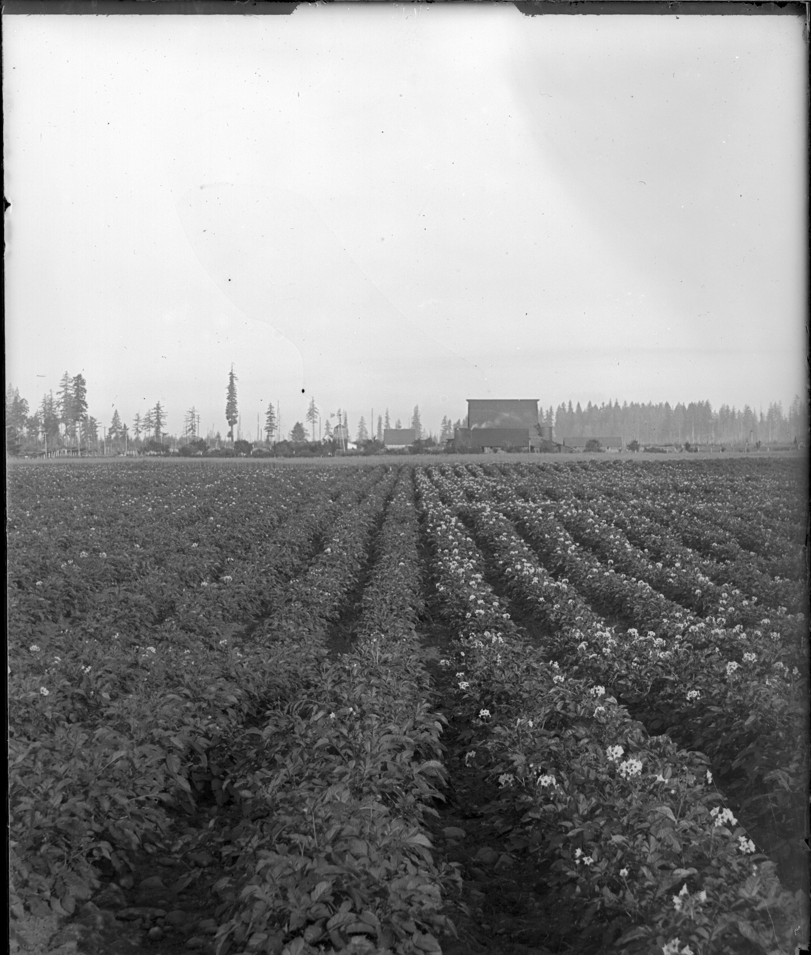 Rows of potatoes with the 1915 barn (now home to our tasting room) in the background.