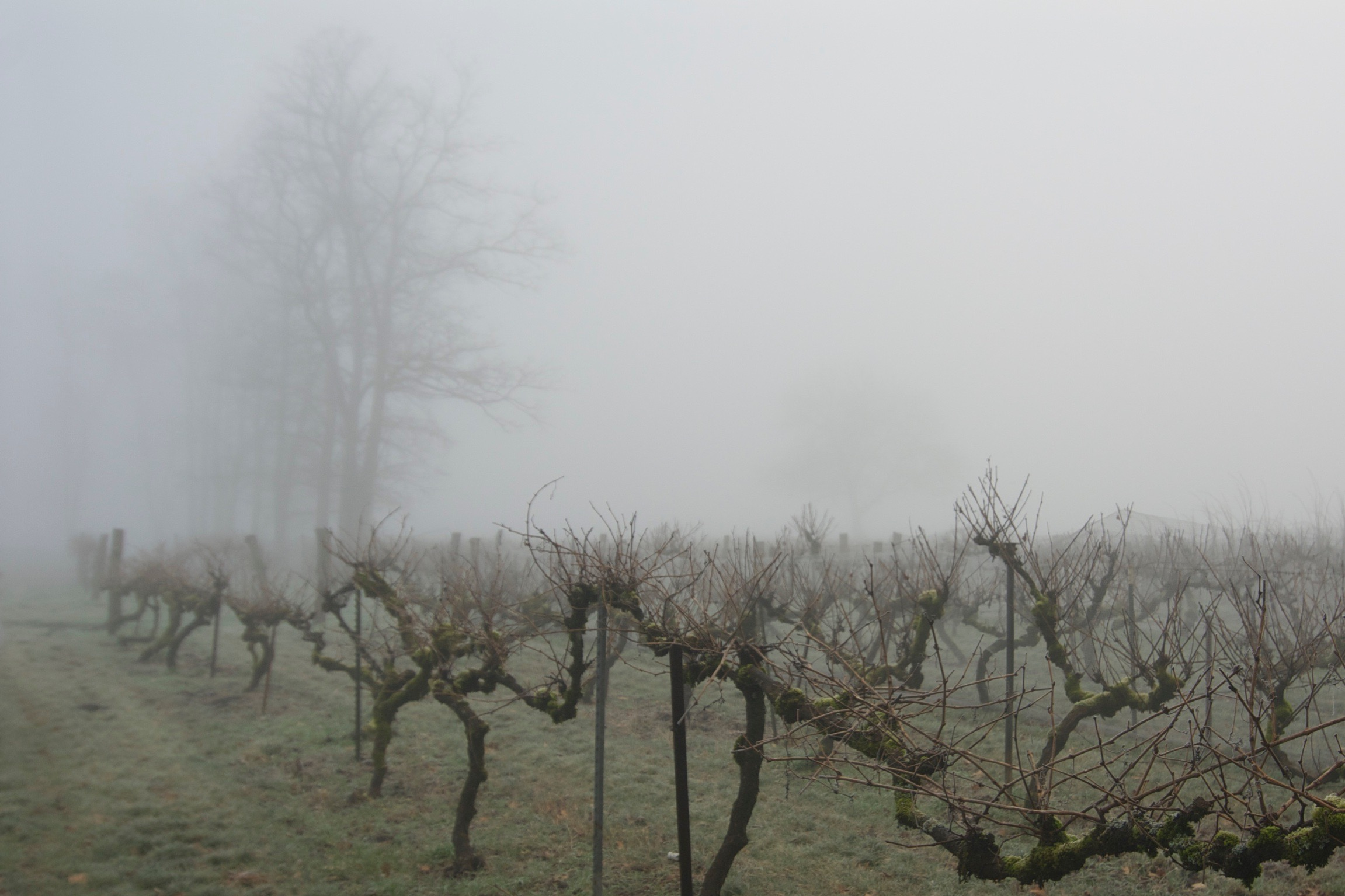 The vineyard in winter. Resting and storing up moisture for our hot, dry summers.