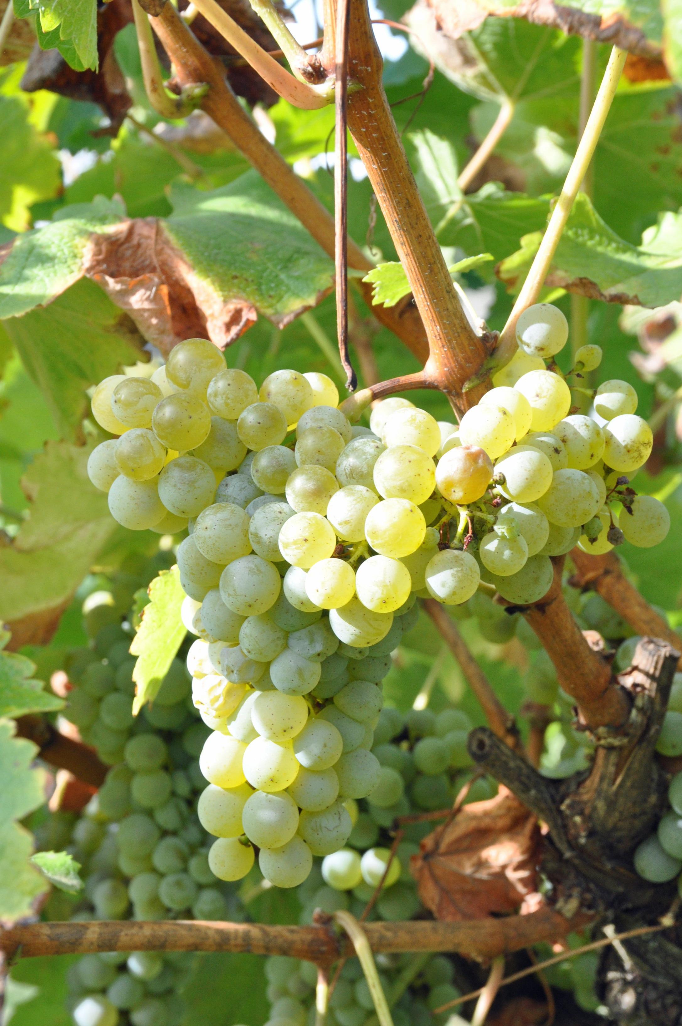 Sauvignon Blanc almost ready to pick.