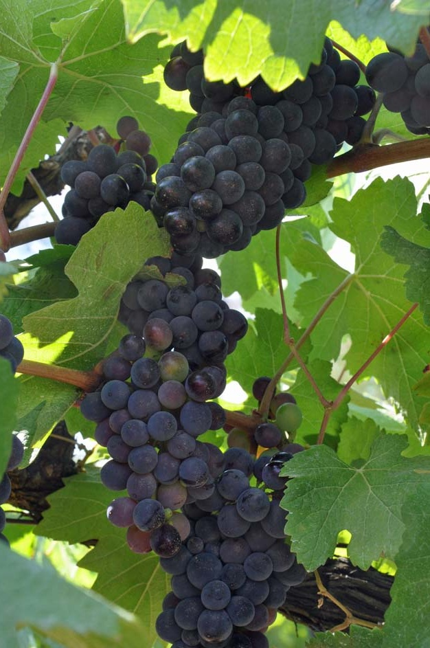 Pinot Noir. We make two to three styles of this wine every fall.