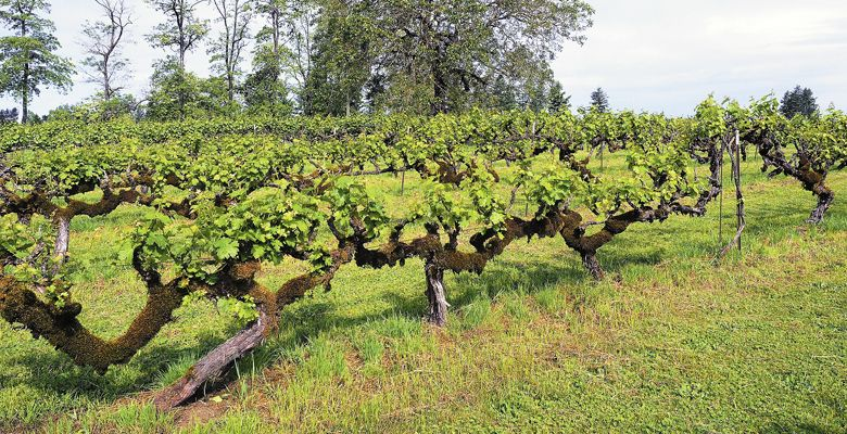 English Estate shows its age with vines planted decades ago.