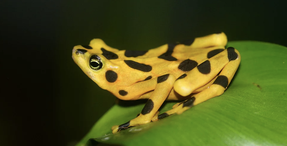 Panamanian Golden Frog -