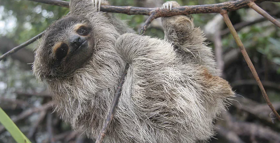 Pygmy Three Toed Sloth -