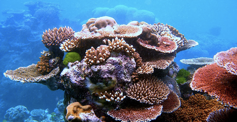 coral -