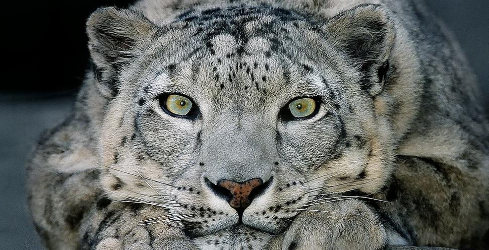 snow leopard -