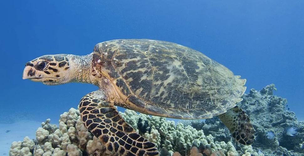 HawksbillSea Turtle -