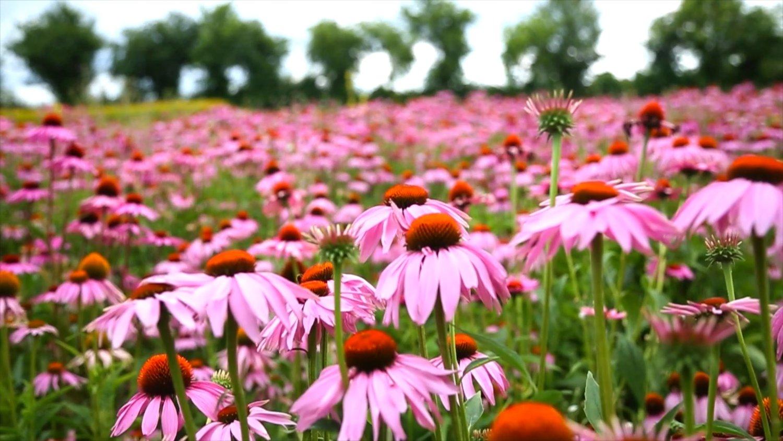 Echinacea_Harvest_19_1500x.jpg