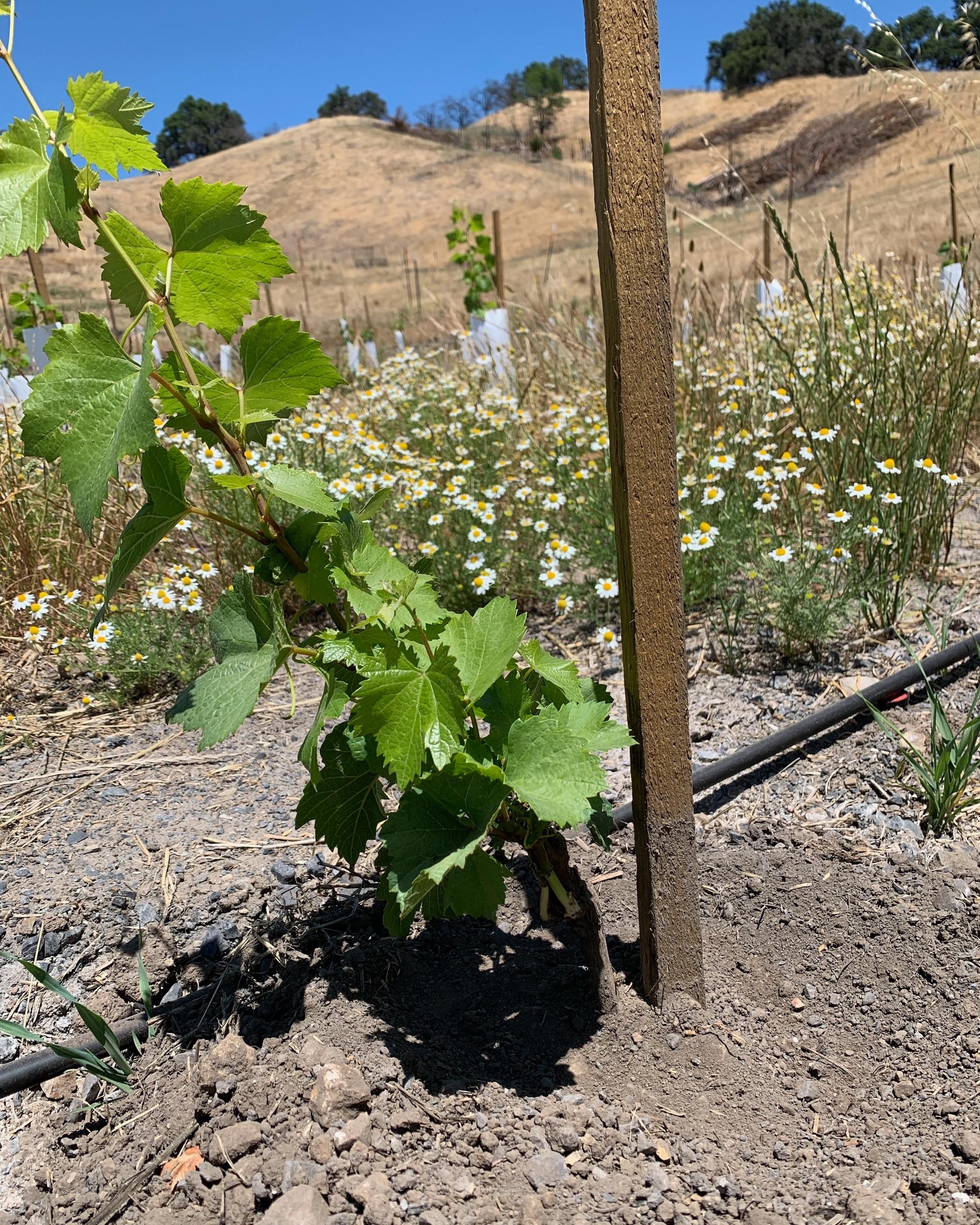 newly planted chardonnay vines