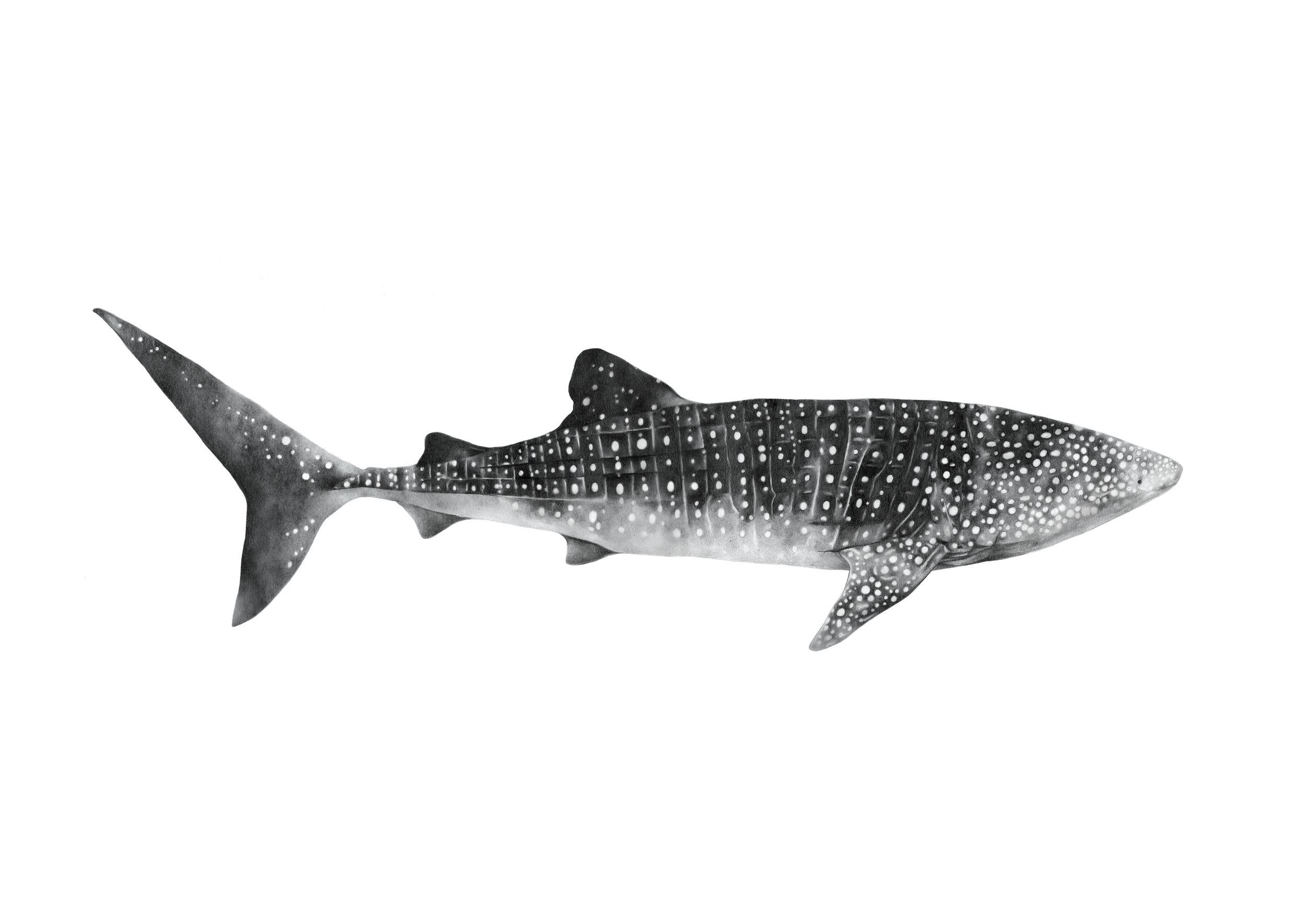 whale shark RGB.jpg