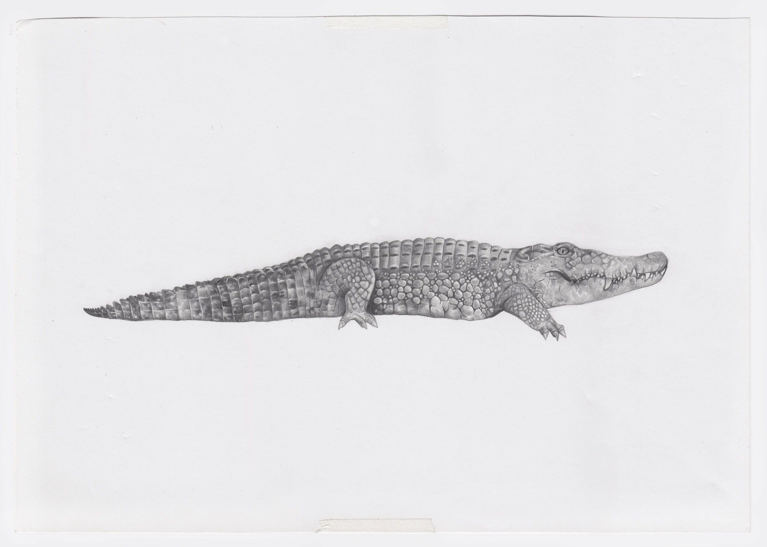 unedited crocodile.jpg