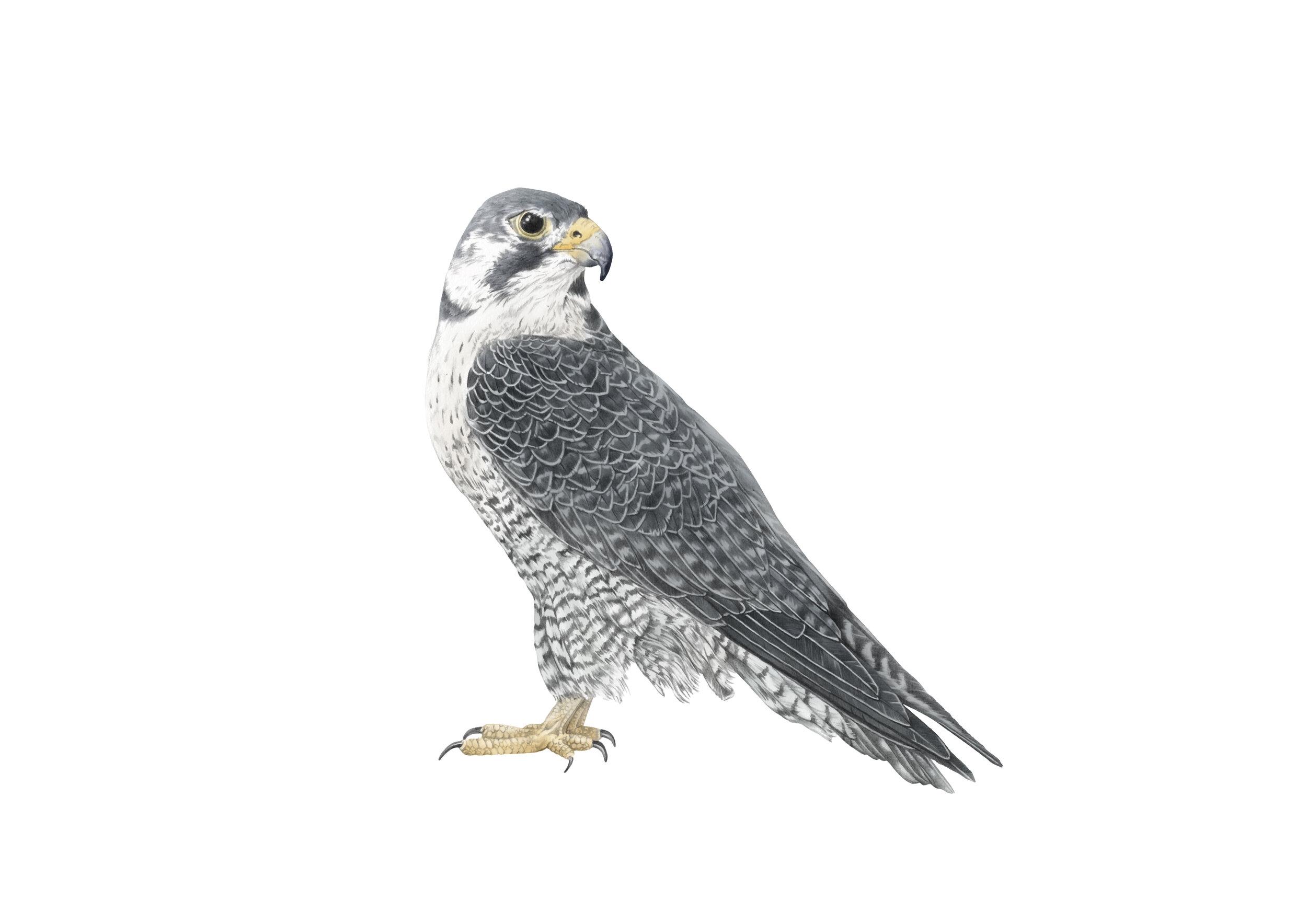 falcon A4 RGB.jpg