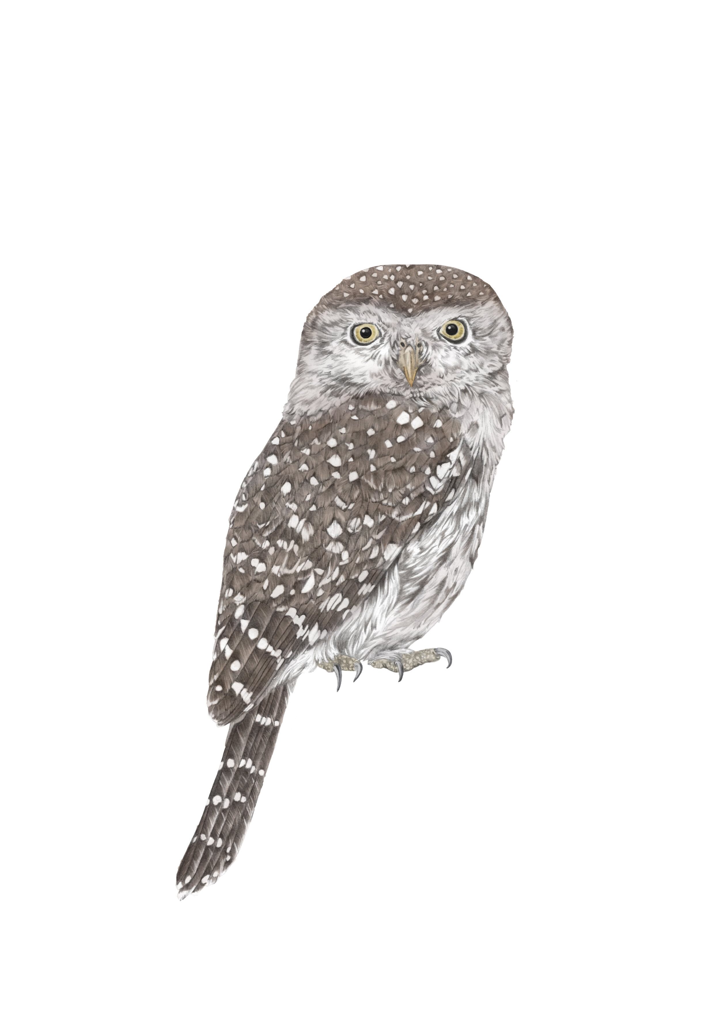 pearl spotted owlet A4 RGB.jpg