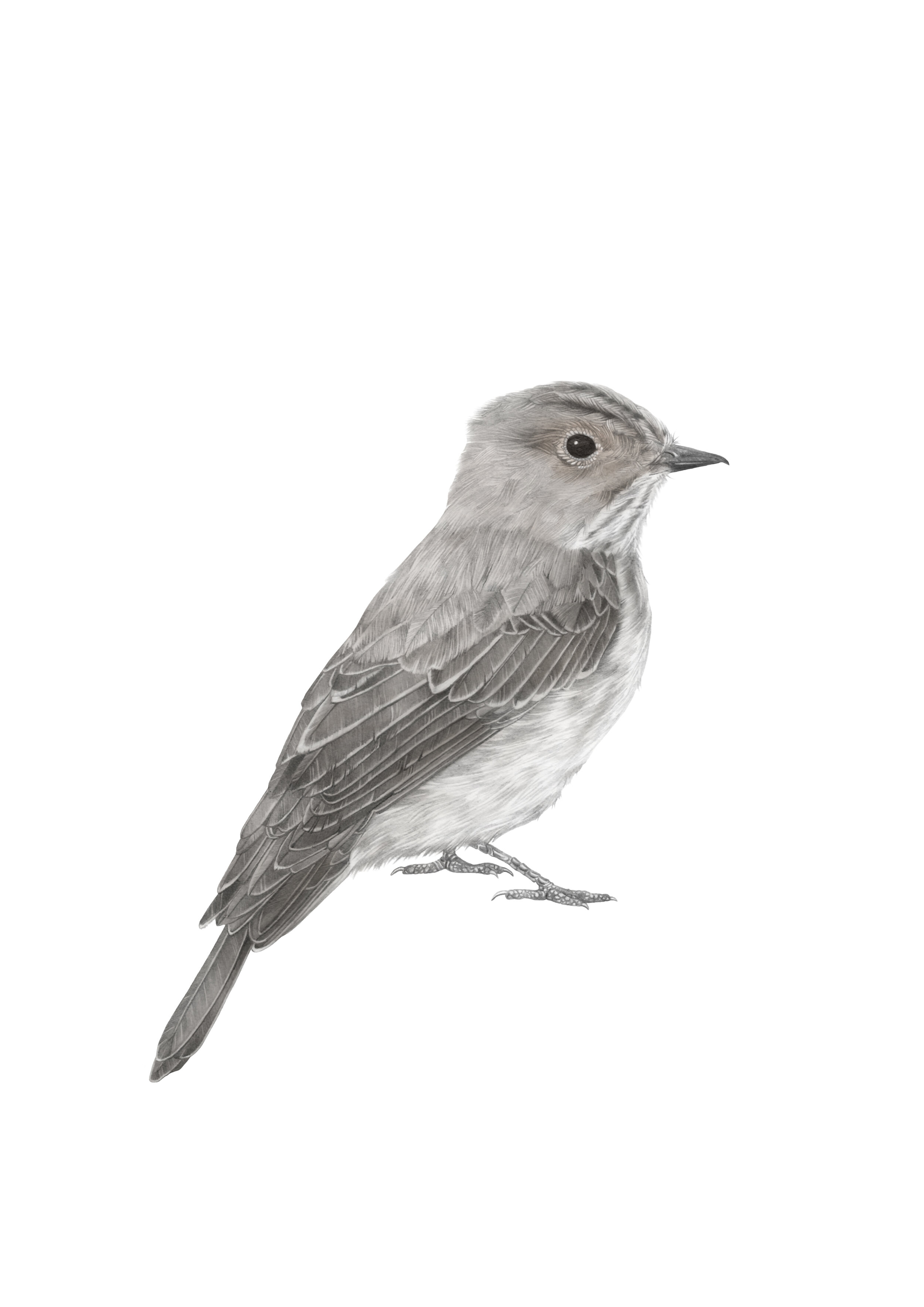 spotted fly catcher A4 RGB.jpg
