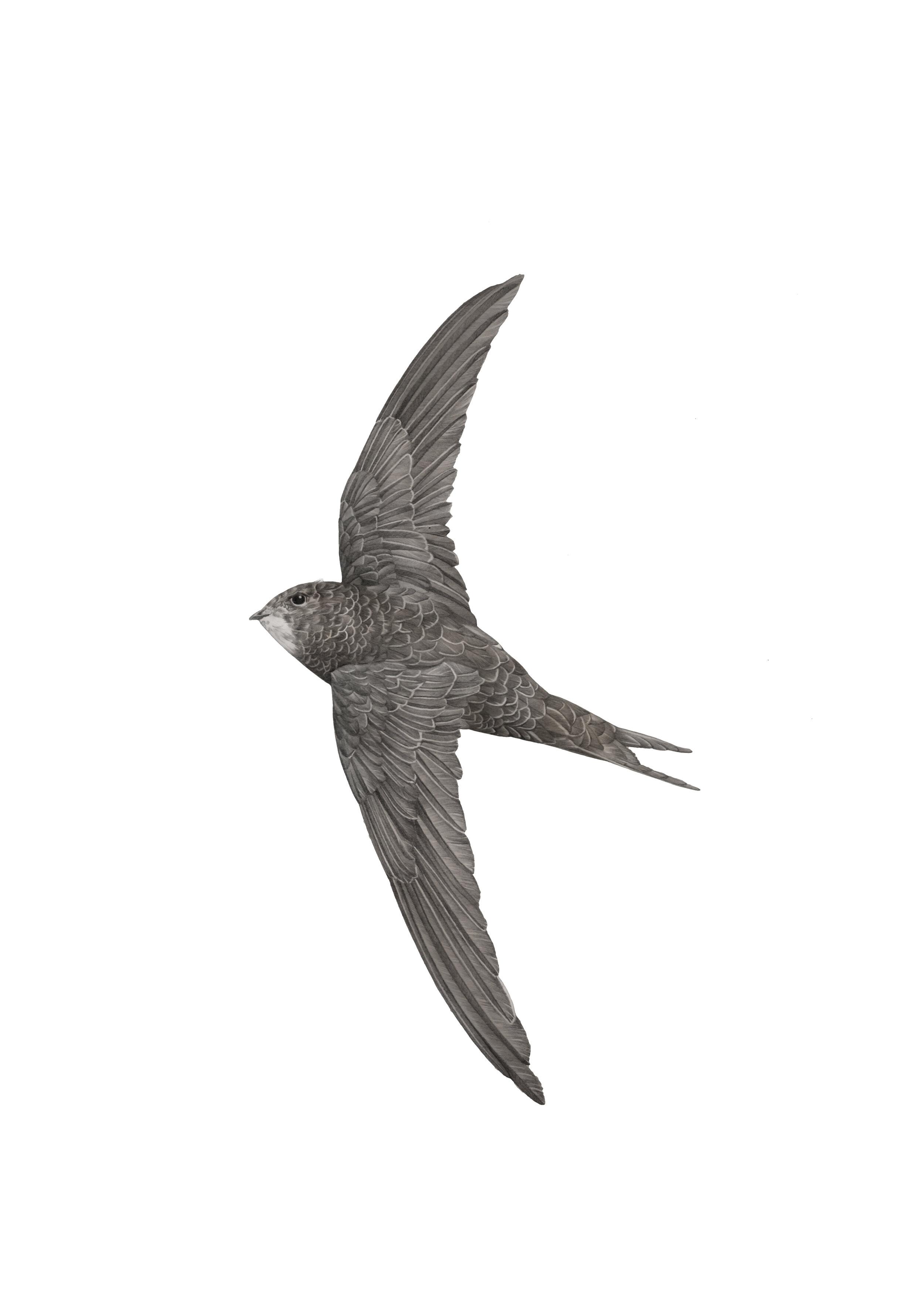 common swift A4 RGB.jpg