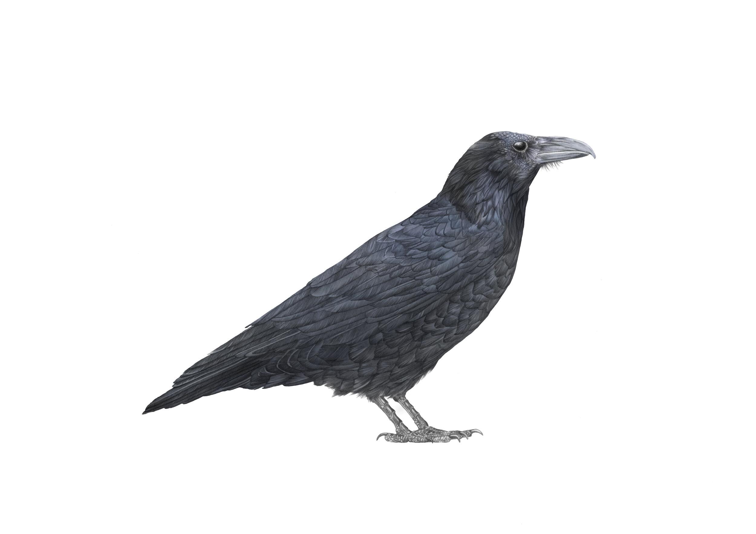raven A4 RGB.jpg
