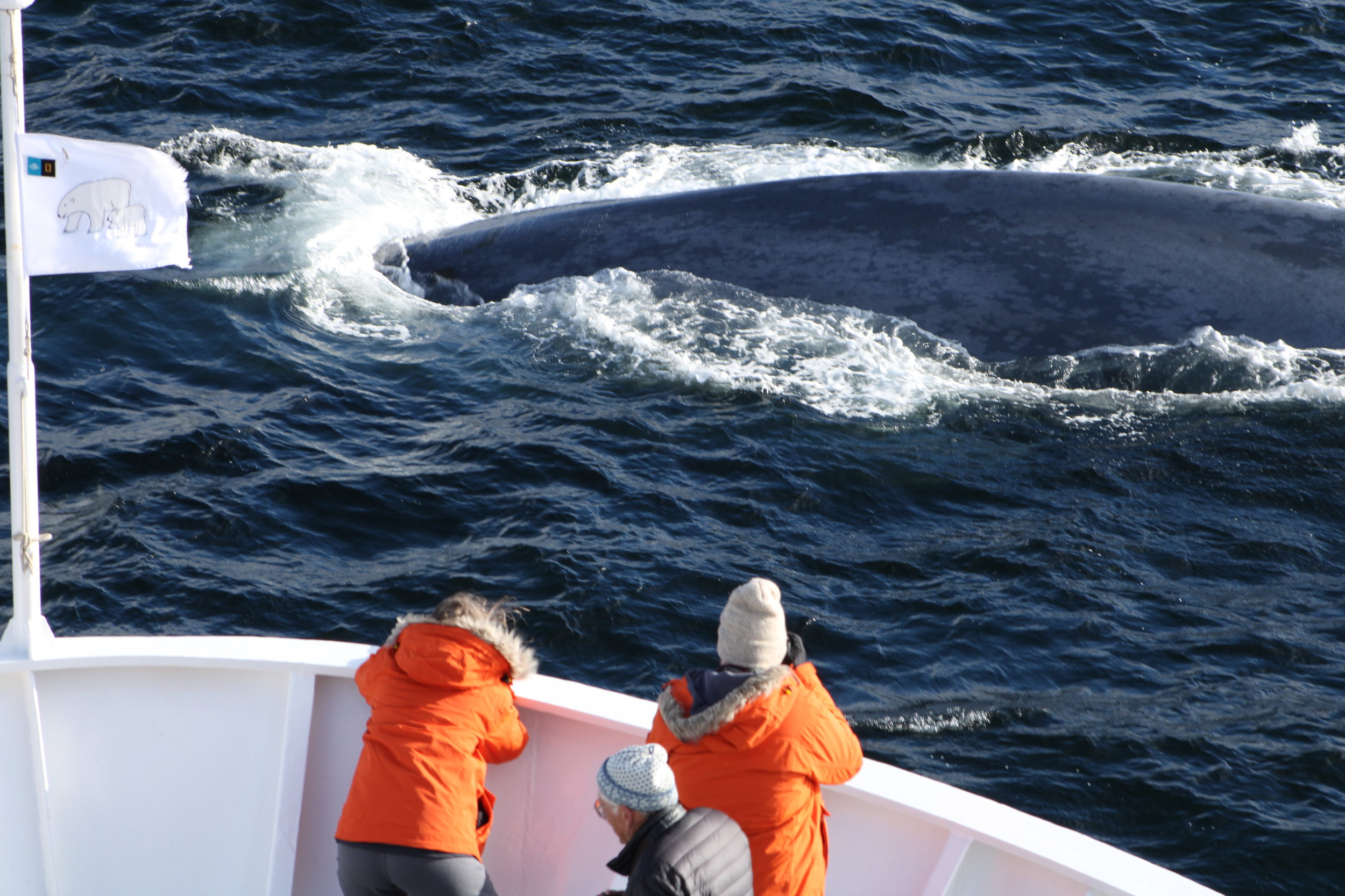She surfaced 20 feet off the bow of our ship!  Photo: Richard Mitchell