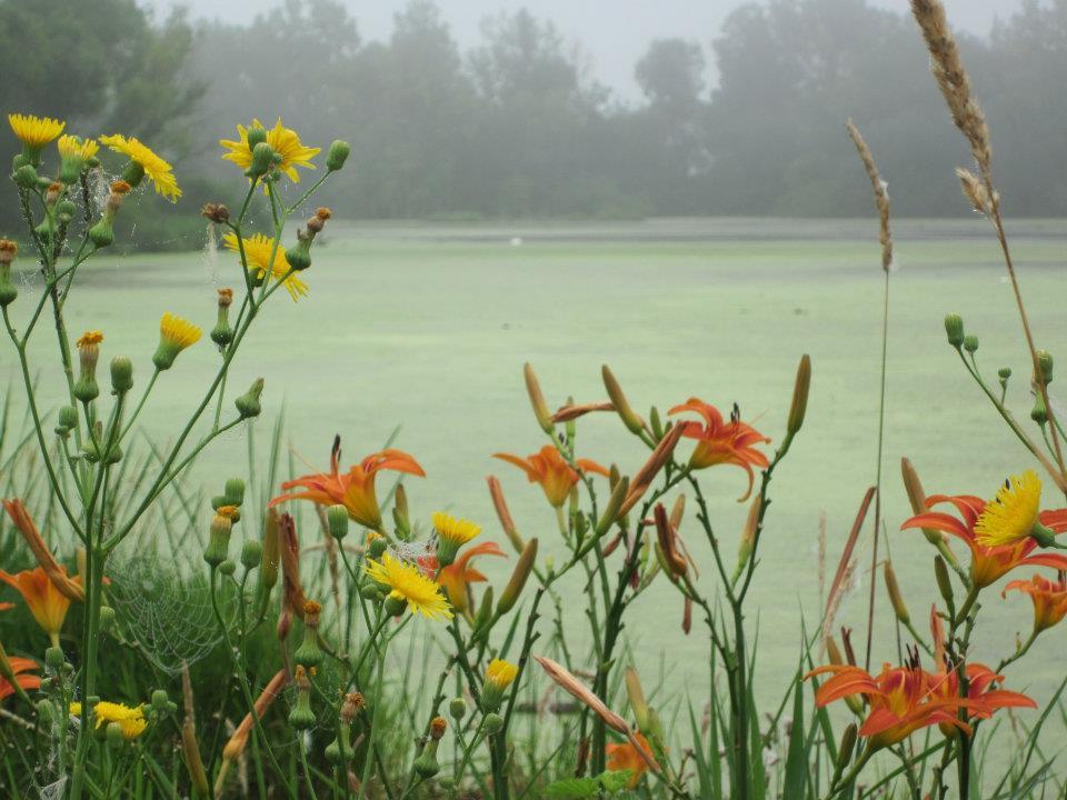 Lillies at wetlands.jpg
