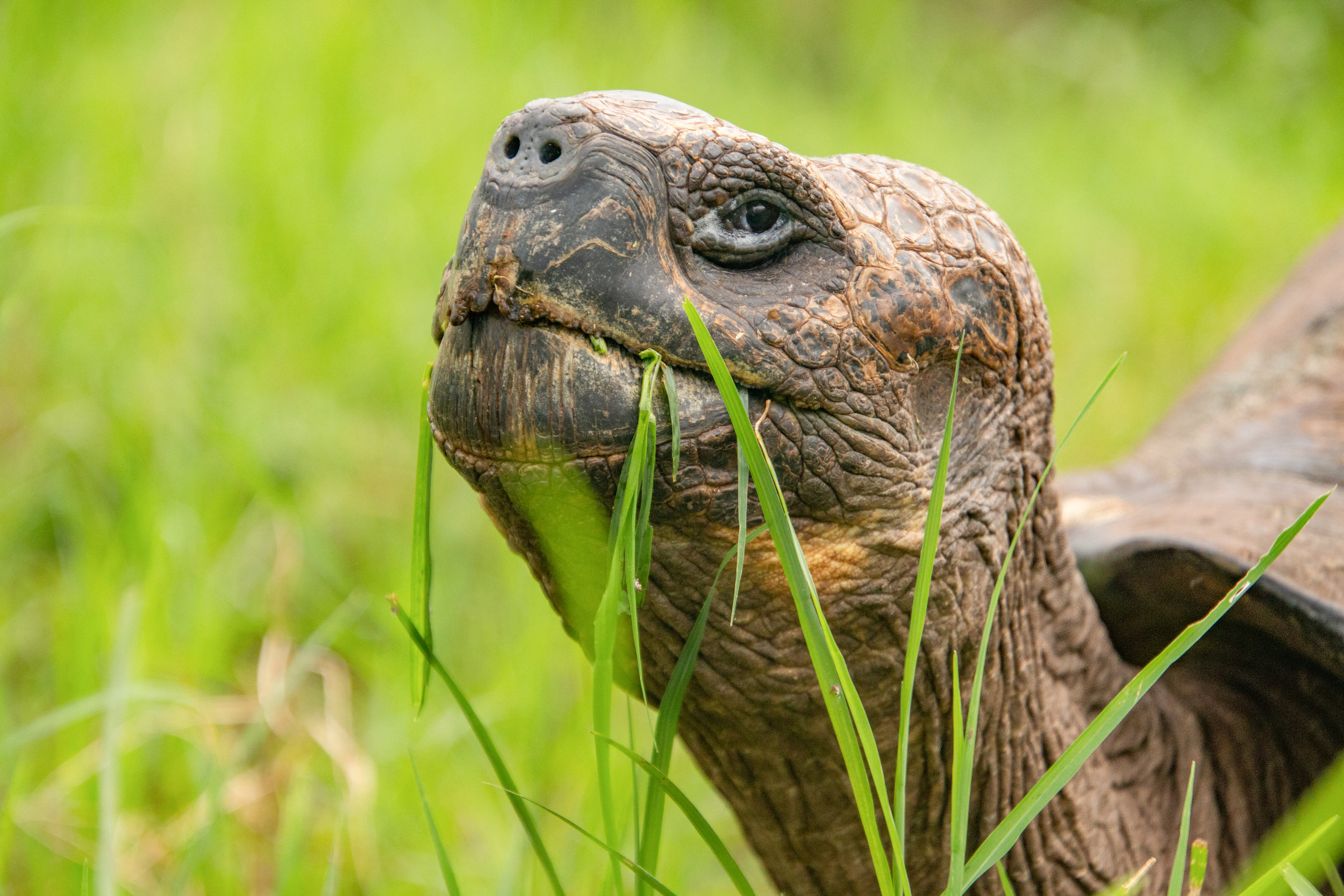 Portrait of the Galápagos Giant Tortoise in the highlands, Santa Cruz.