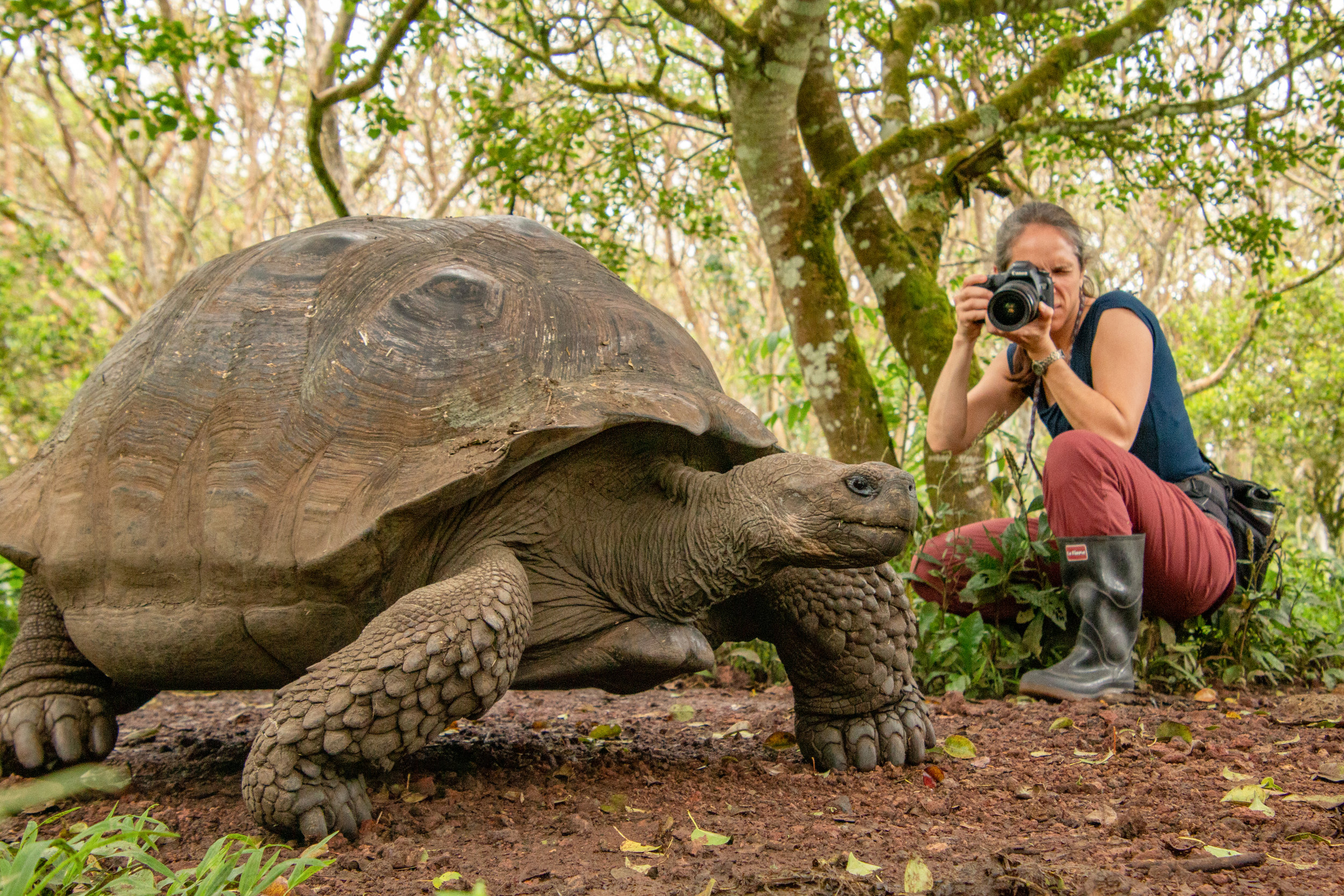 Photographer taking a shot of a Giant Galápagos Tortoise in the highlands, Santa Cruz.