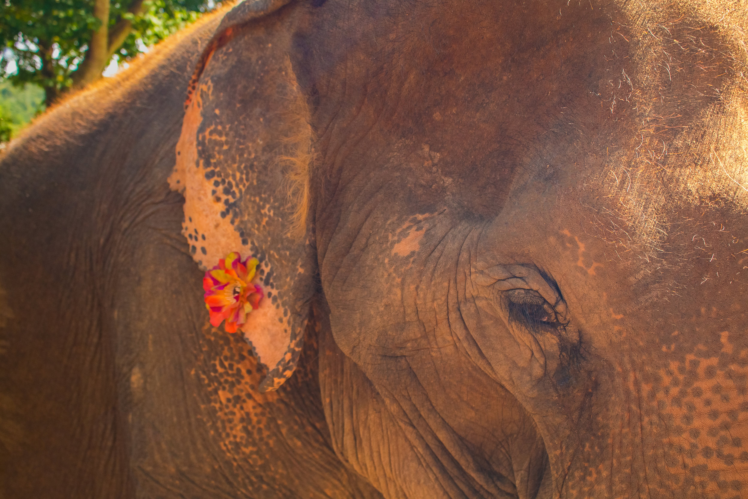 Flower decorated on an ear of a rescued elephant at Elephant Sanctuary Park, Chiang Mai, Thailand.