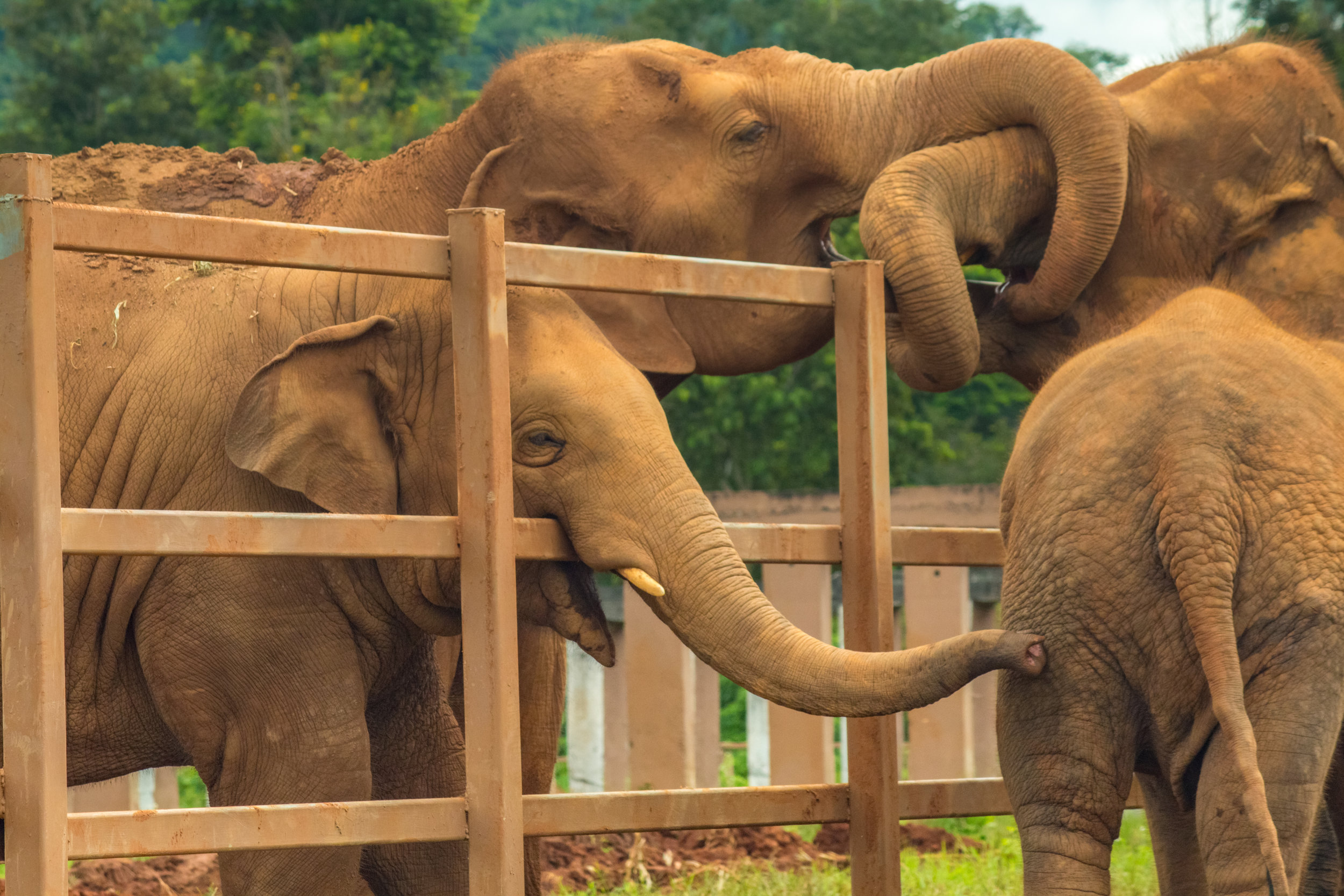 Elephants greet each other through their enclosures at Elephant Sanctuary Park, Chiang Mai, Thailand.