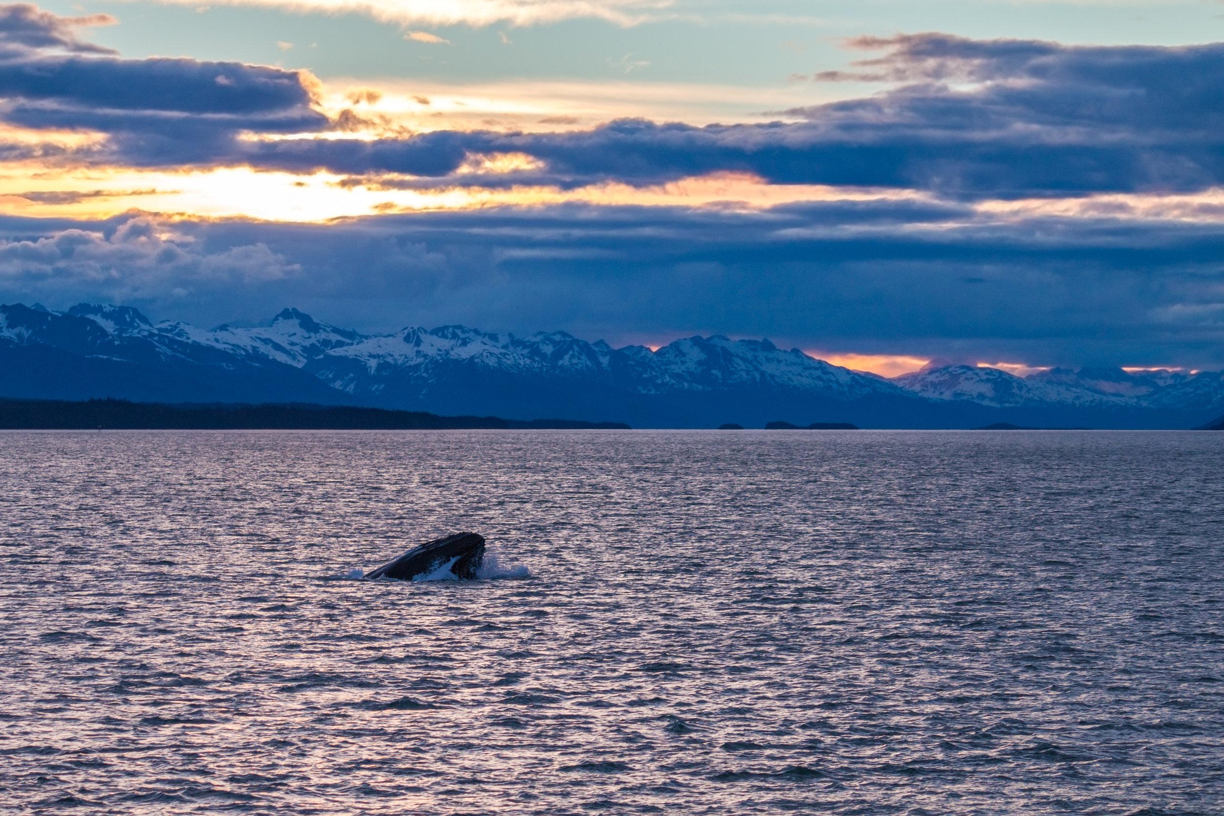 Humpback whale feeding at twilight; Lynn Canal west of the Chilkat Peninsula; Southeast Alaska
