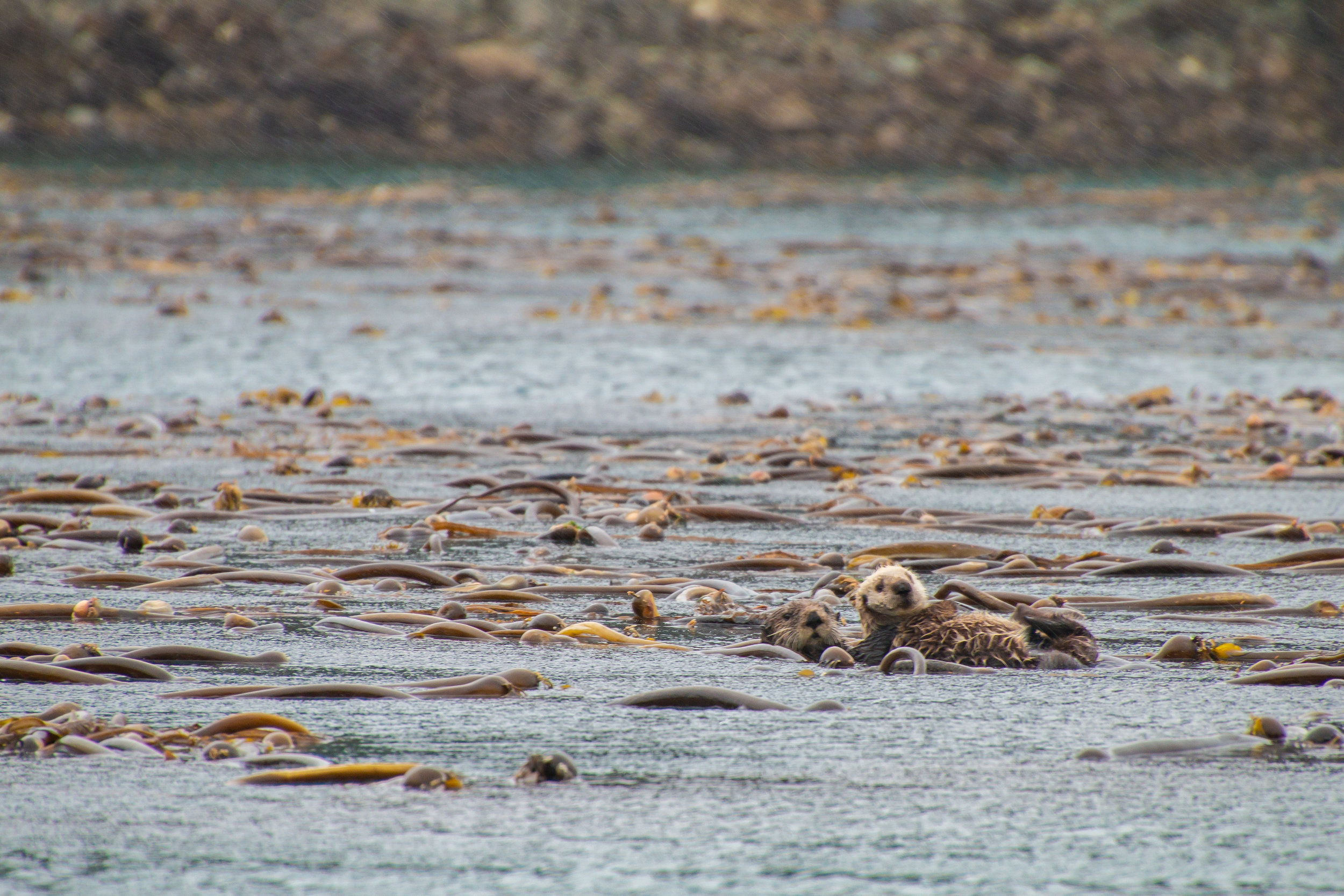 Sea Otter mom and pup floating among a forest of kelp, Inian Islands, Southeast Alaska.