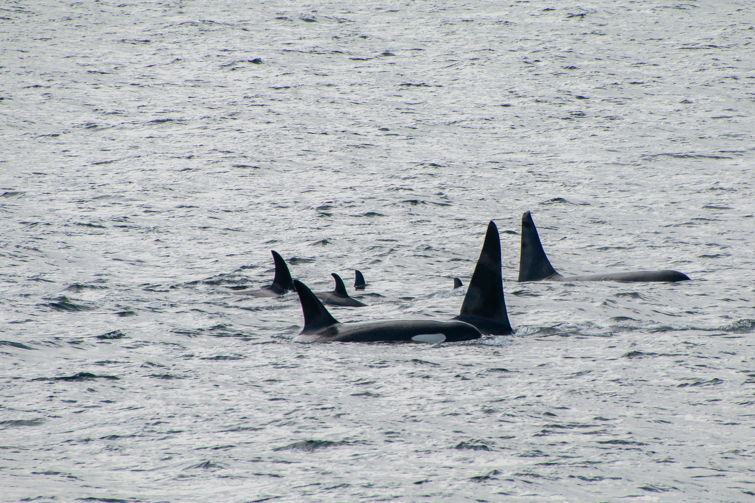 A family of Orcas swimming through Chatham Strait, Southeast Alaska.