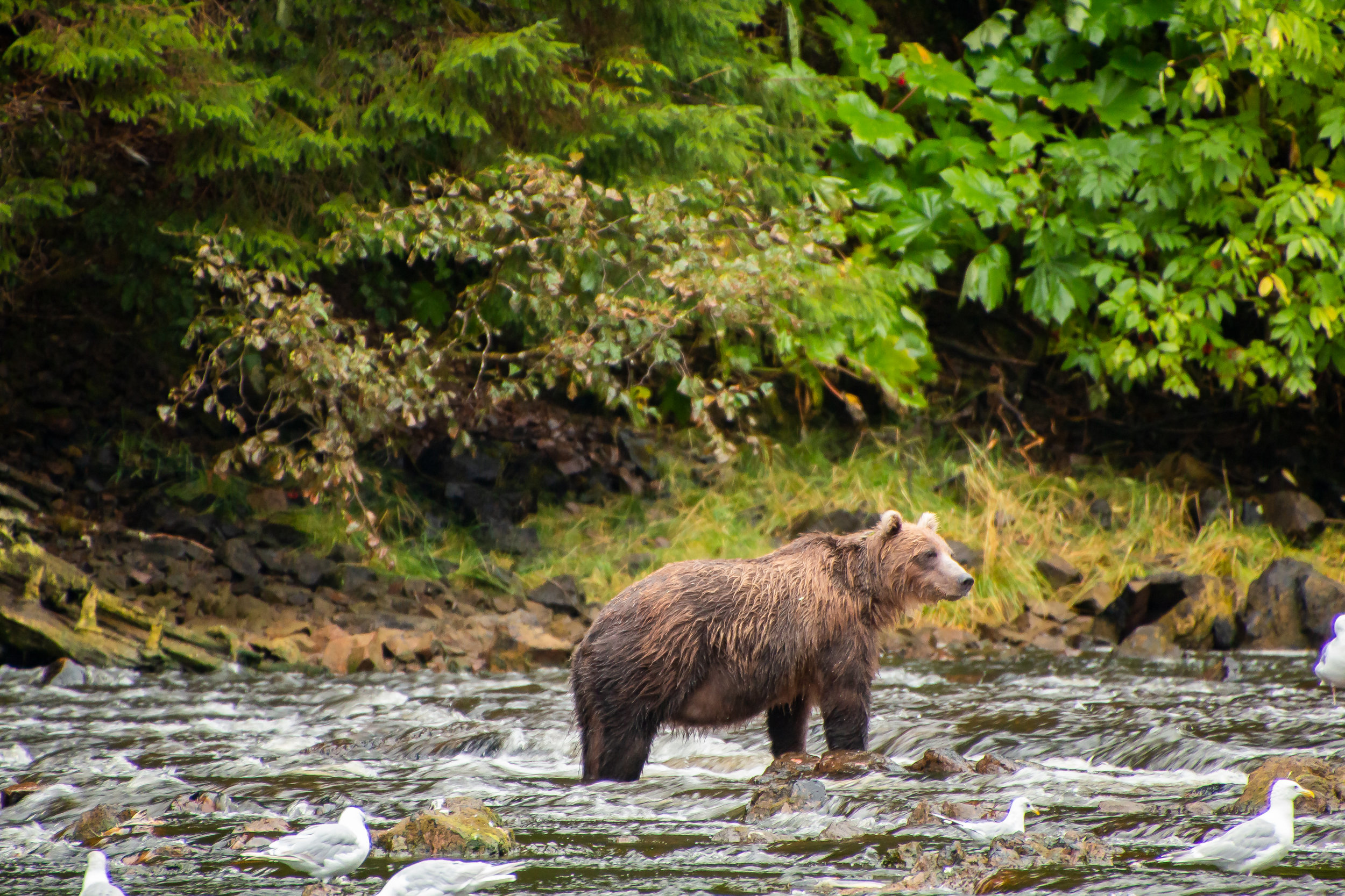 Brown Bear enjoying a the abundant salmon stream in Pavlof Harbor, Southeast Alaska.