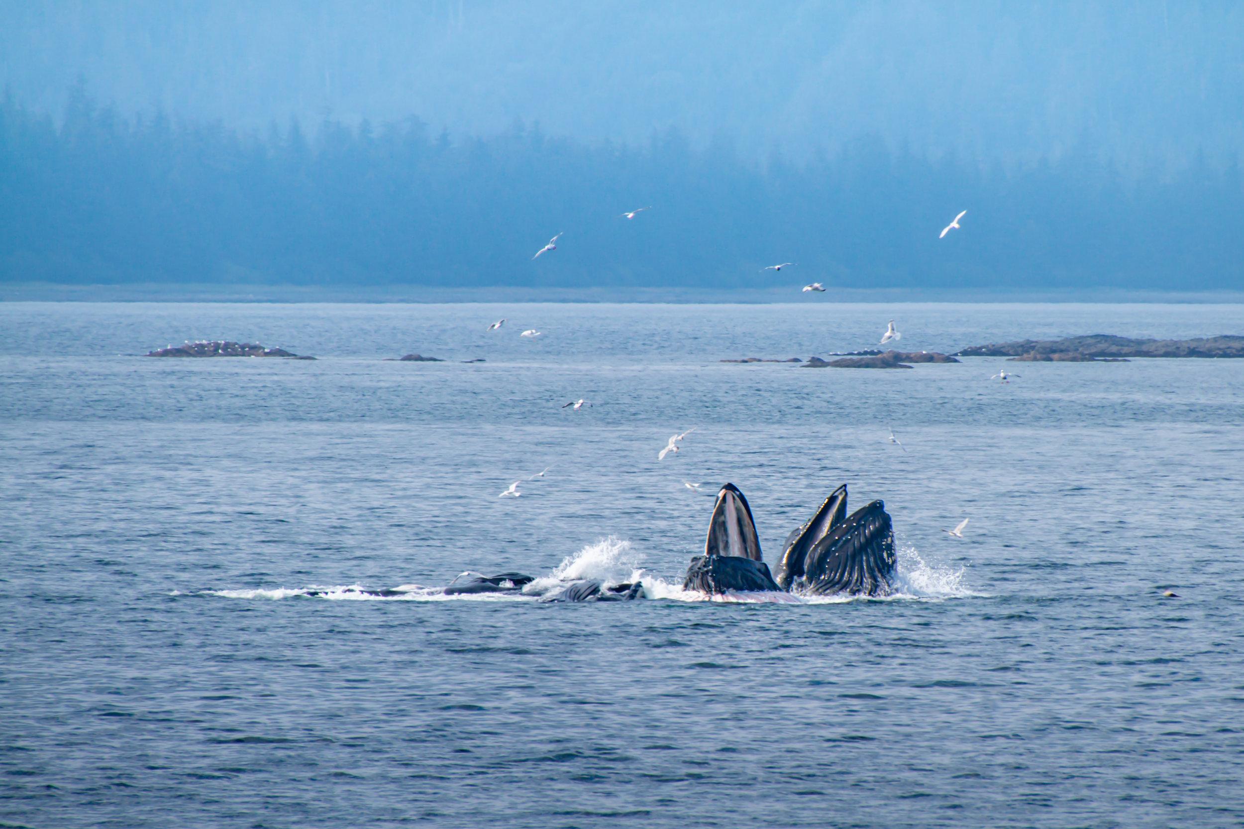 Humpback Whales bubble-net feeding in Chatham Strait, Southeast Alaska.