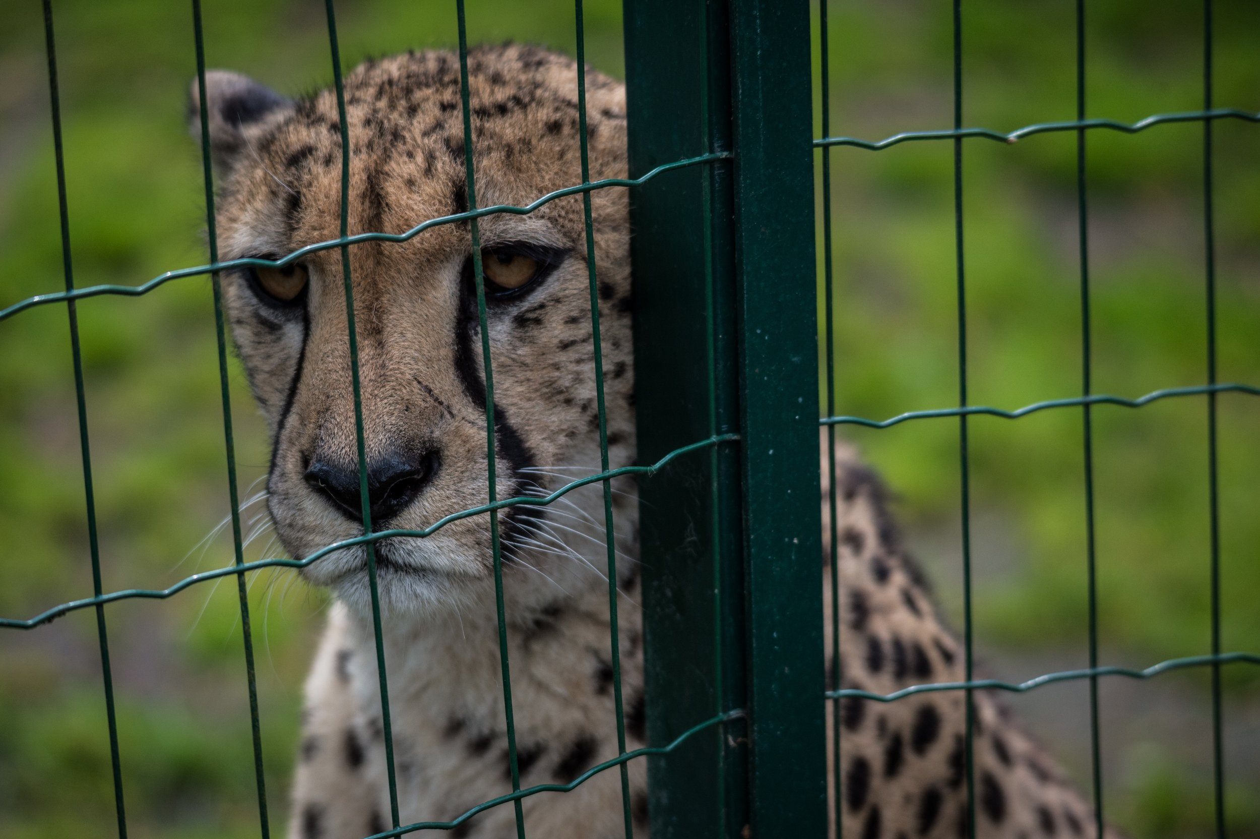 Cheetah in Zoo .jpg