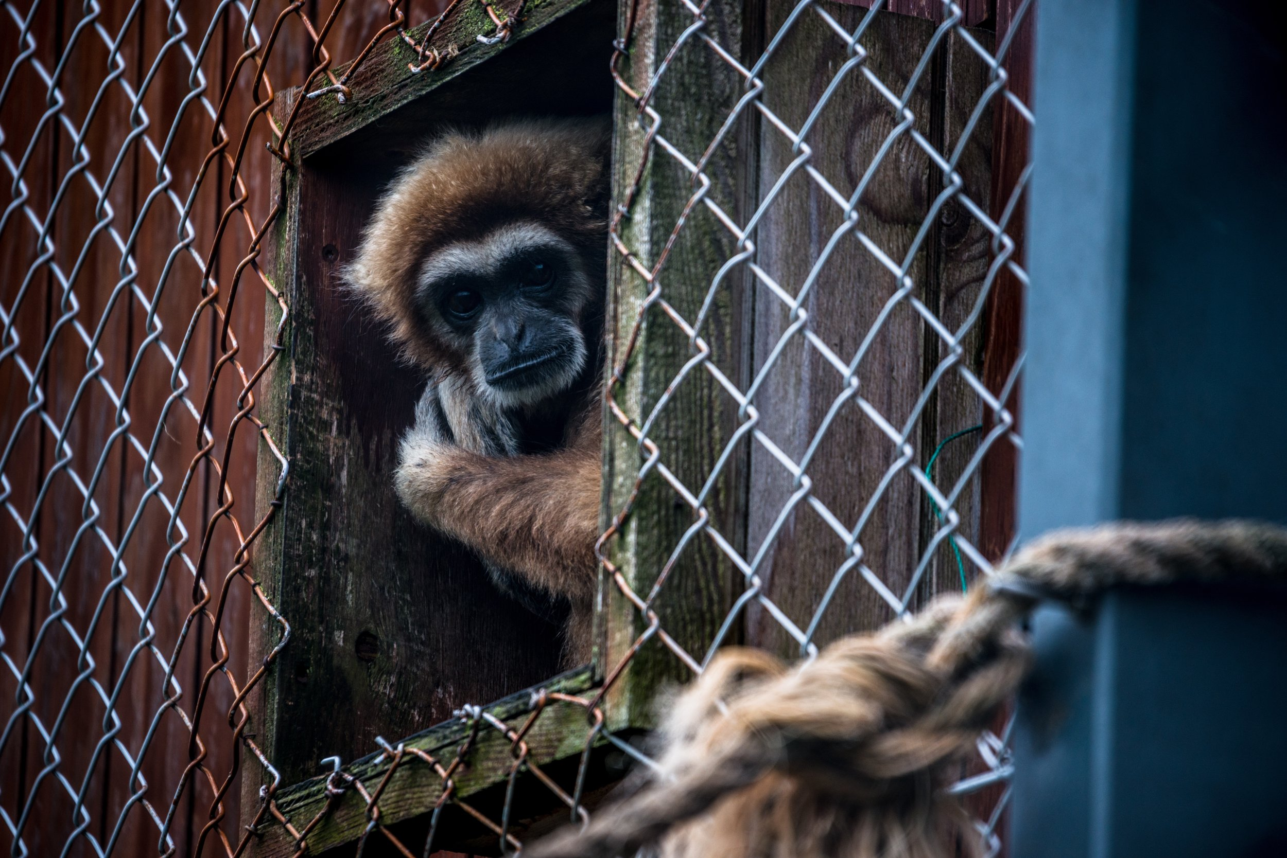 Gibbon in Zoo .jpg