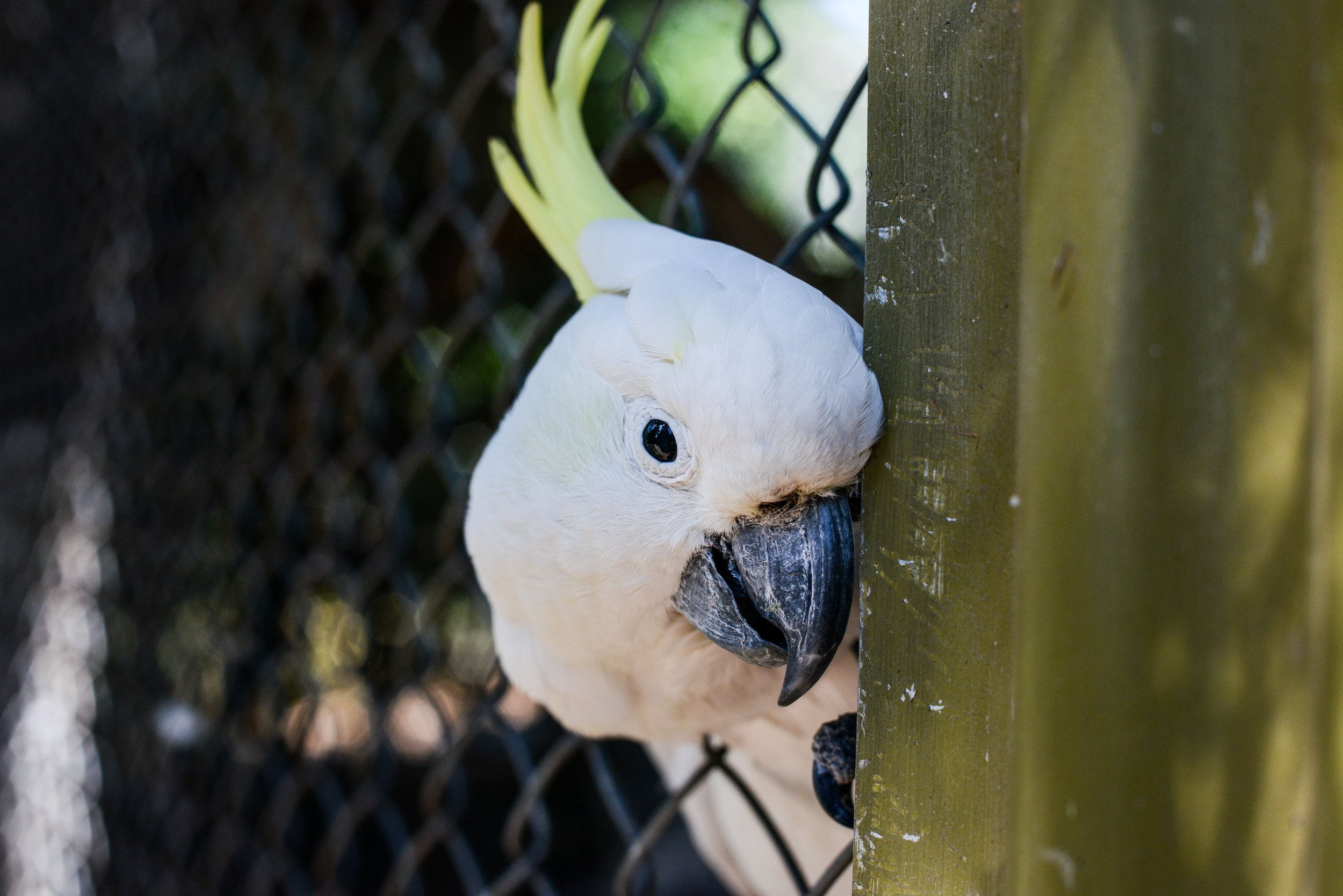 Cockatoo in a Zoo.jpg