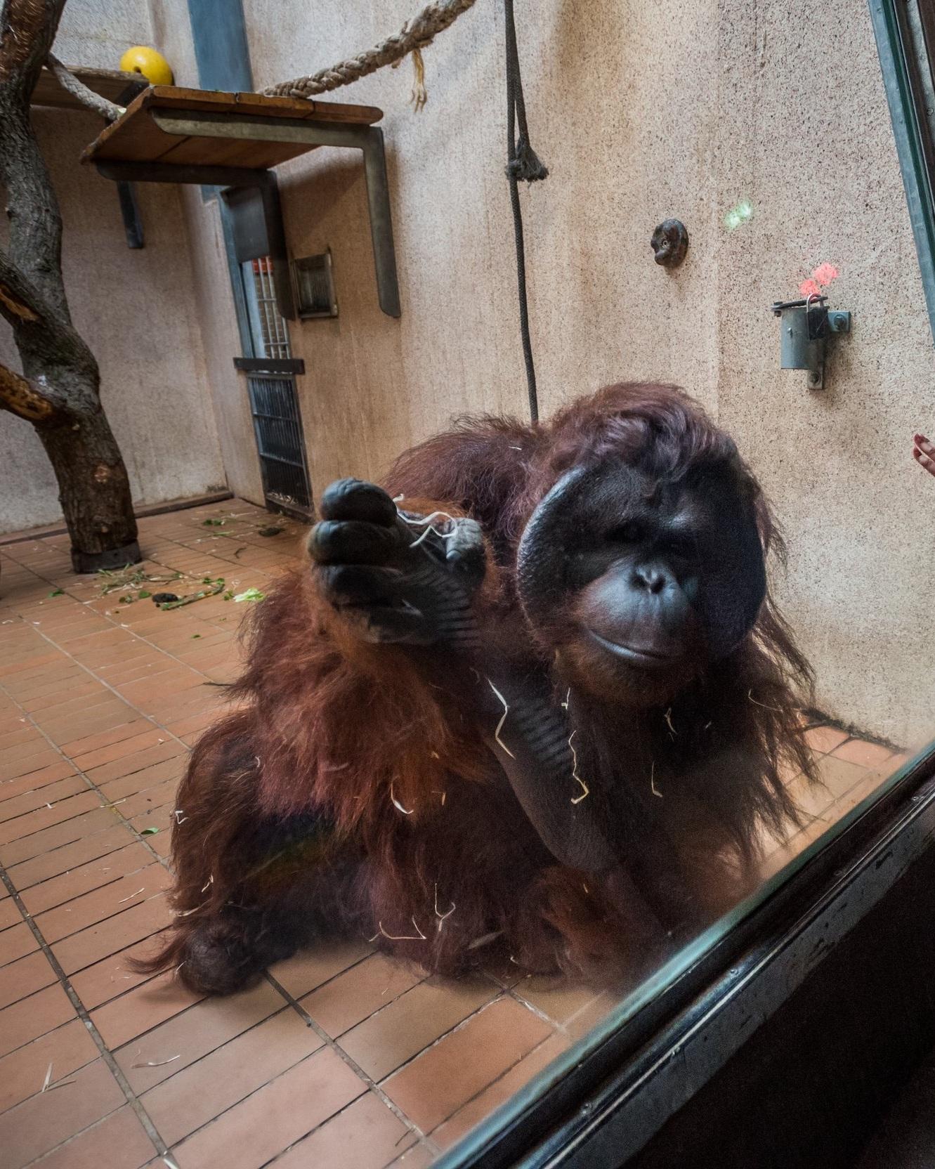 Orangatan in Zoo.jpg