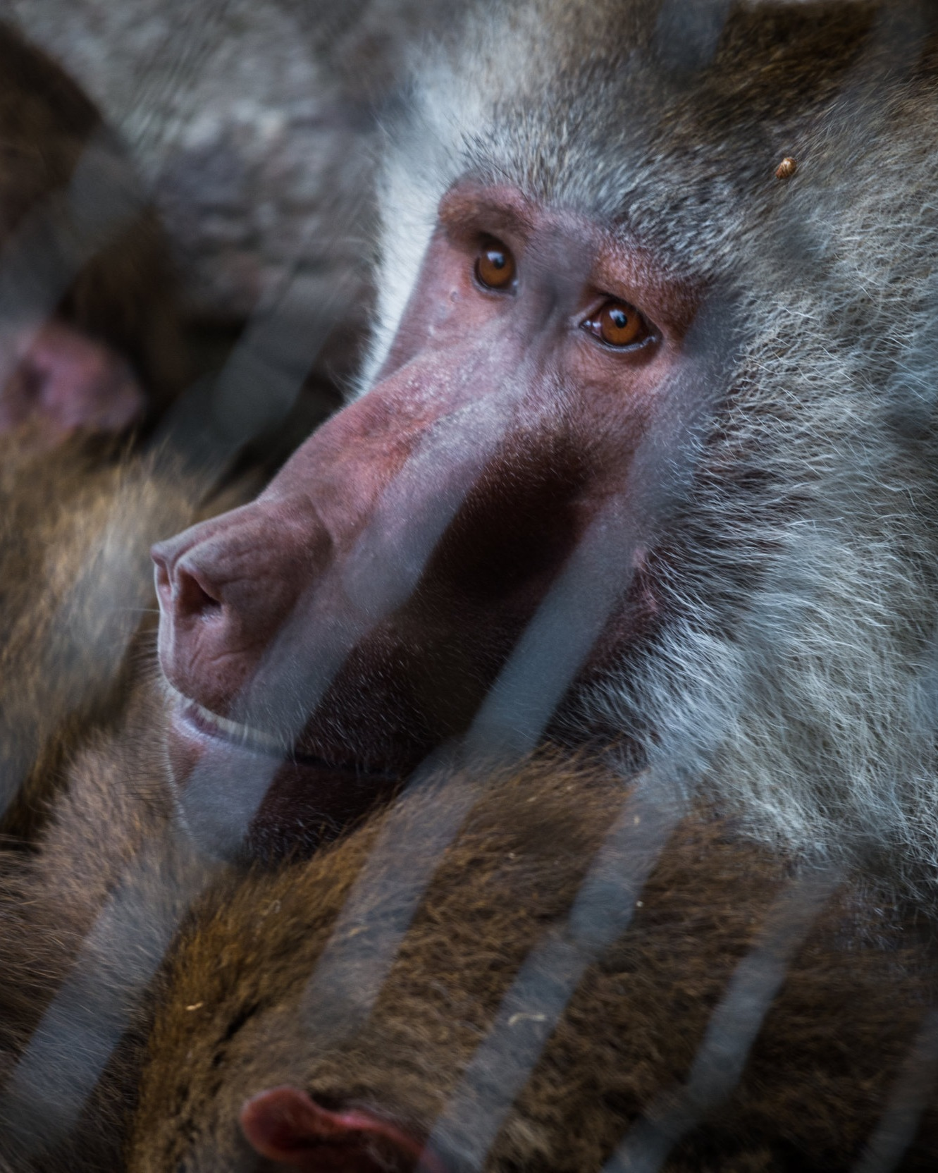 Baboon in Zoo.jpg