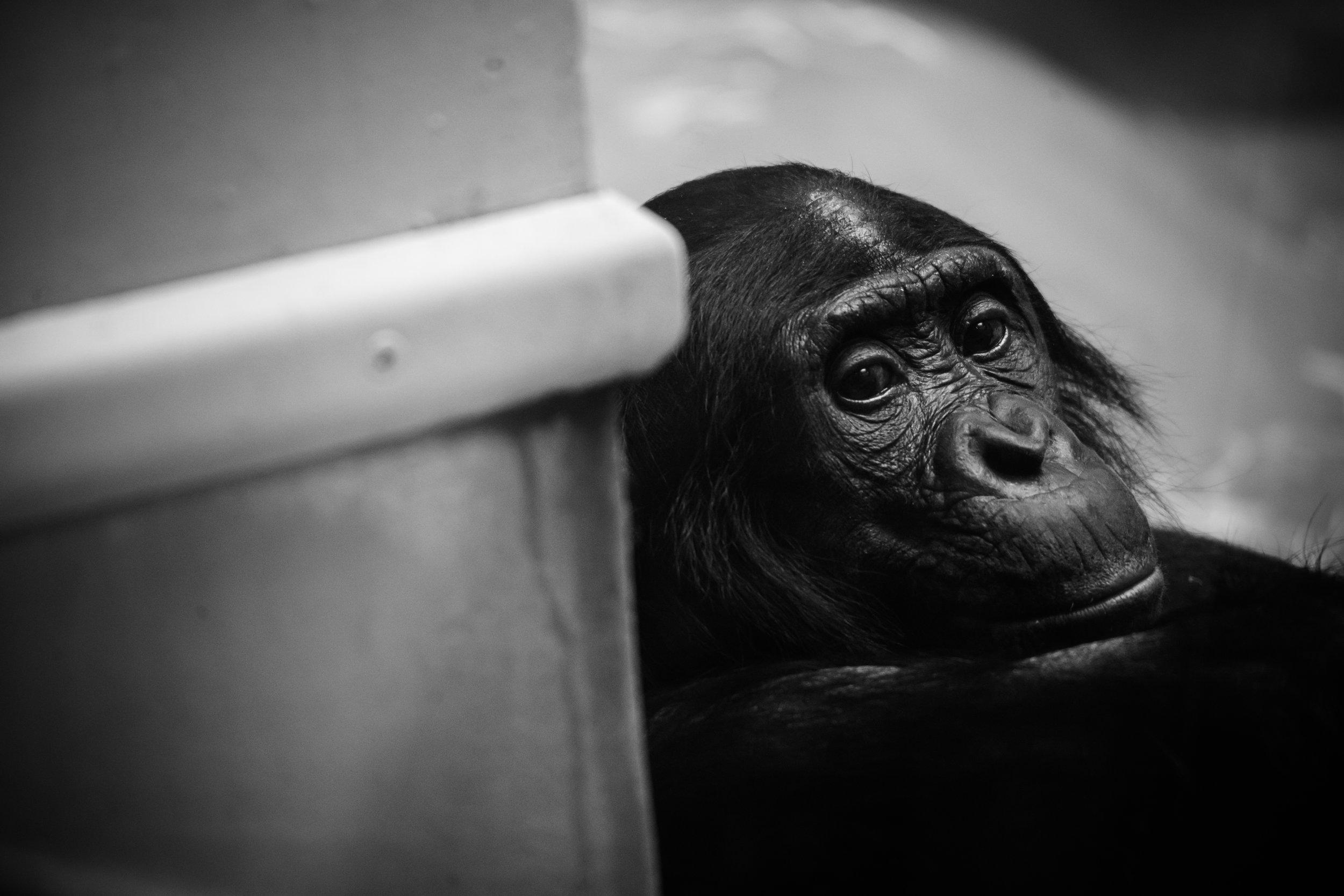 Chimpanzee 2 in a Zoo.jpg