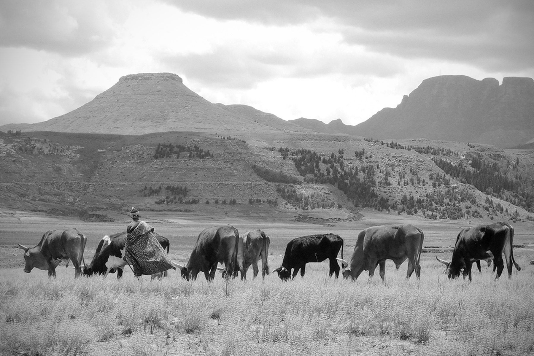 Lesotho is mostly rural and mountainous. Here is a common scene of a herdman with some of his animals near Mohale's Hoek.