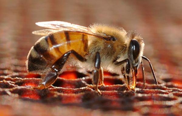 Bee Facts Image3.jpg