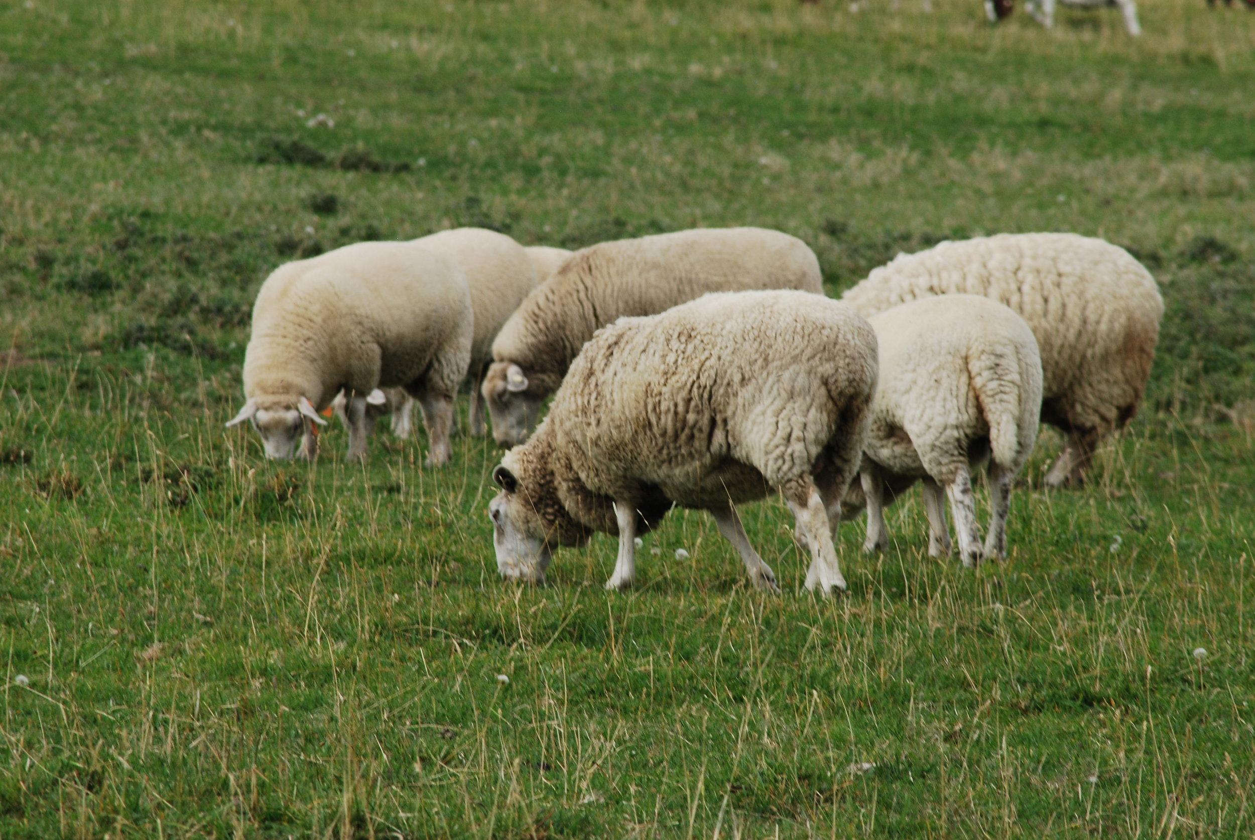 Lisha Newhall - SheepGang.JPG
