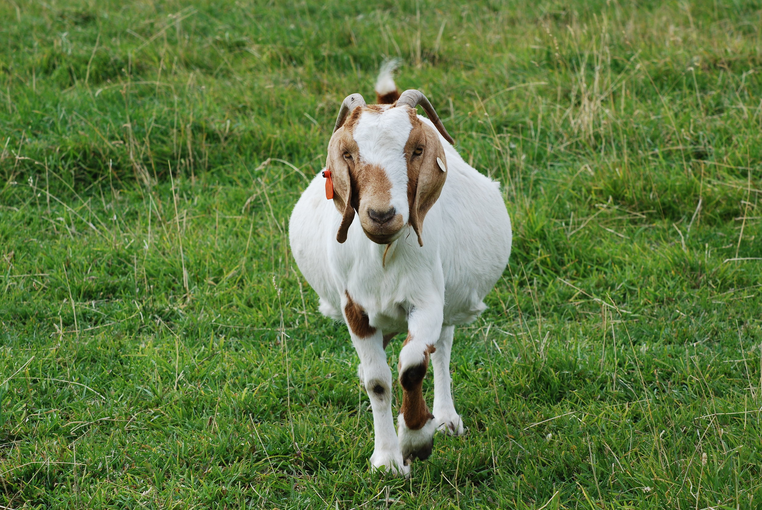 Lisha Newhall - FriendlyGoat.JPG