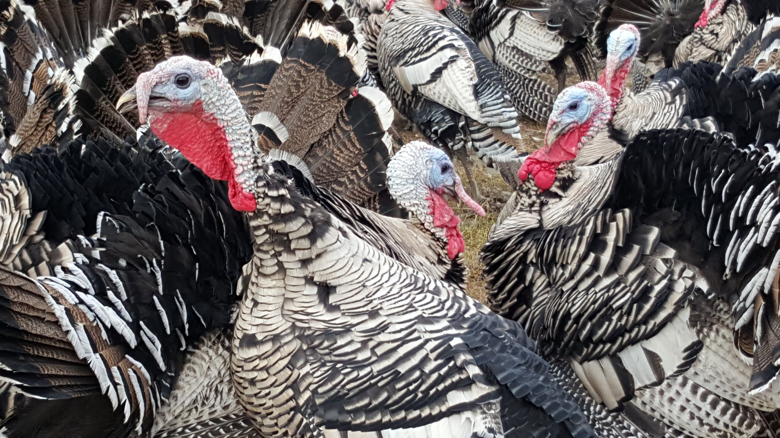 Narragansett turkeys 101715.jpg