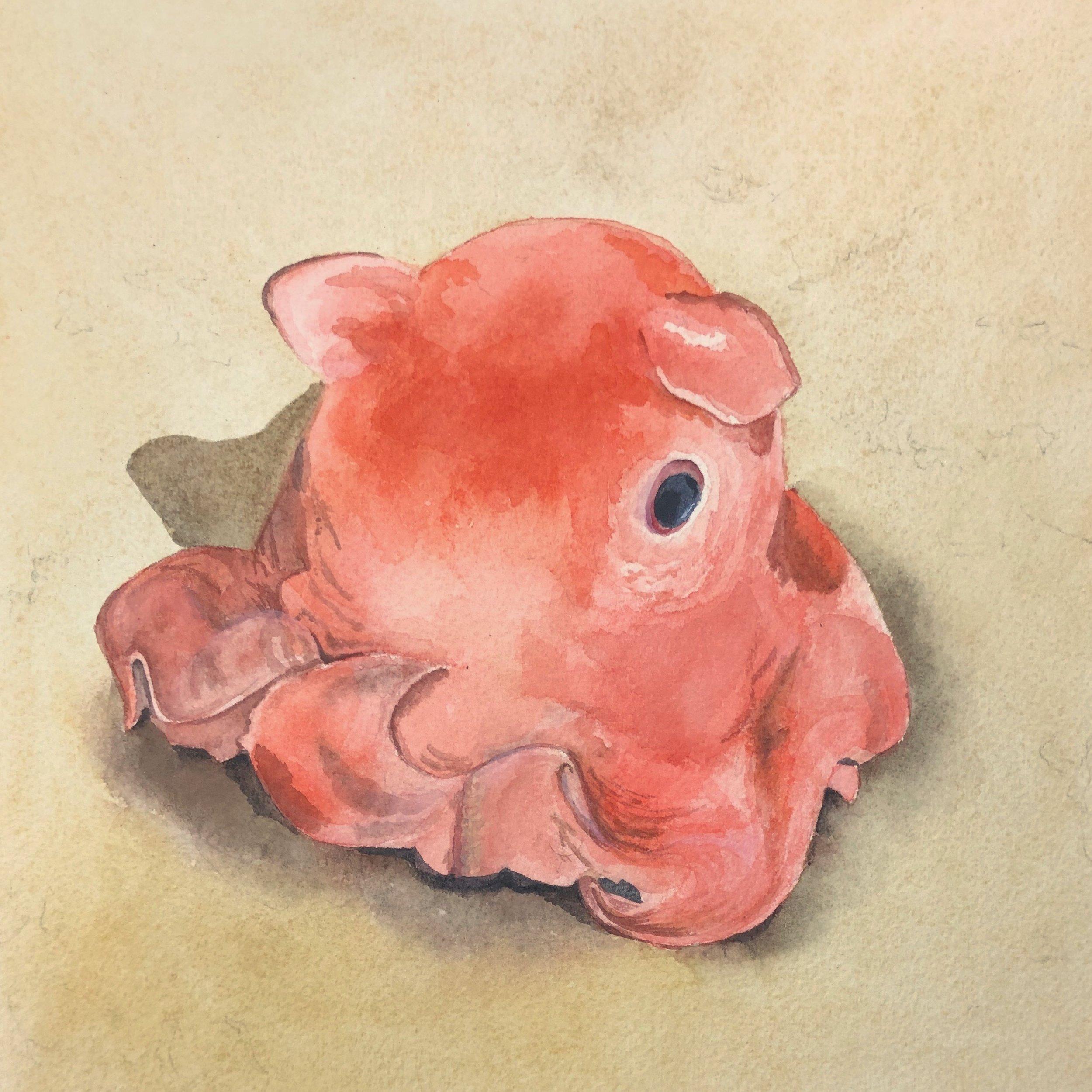 Adorabilis Octopus