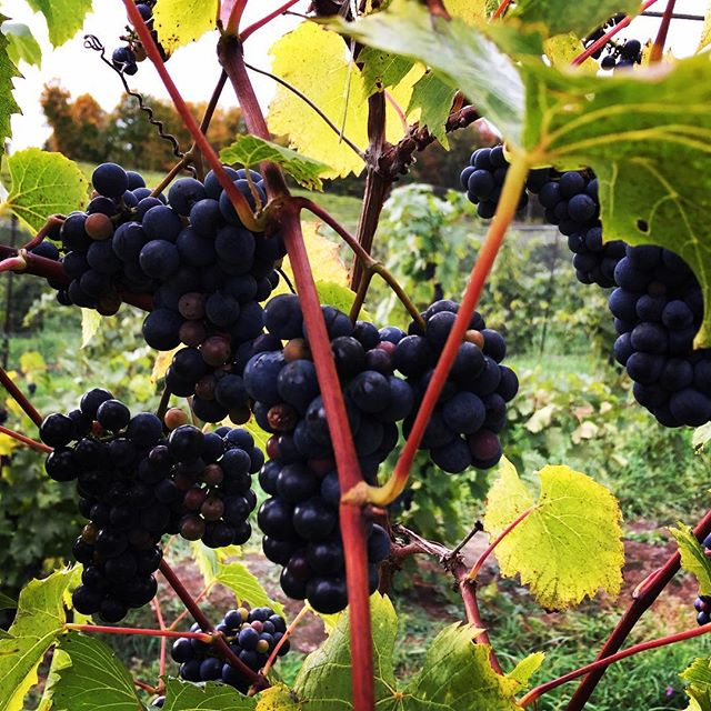 Petite Pearl- have you heard of this wine grape? Intense dark color; Think blackberry jam!