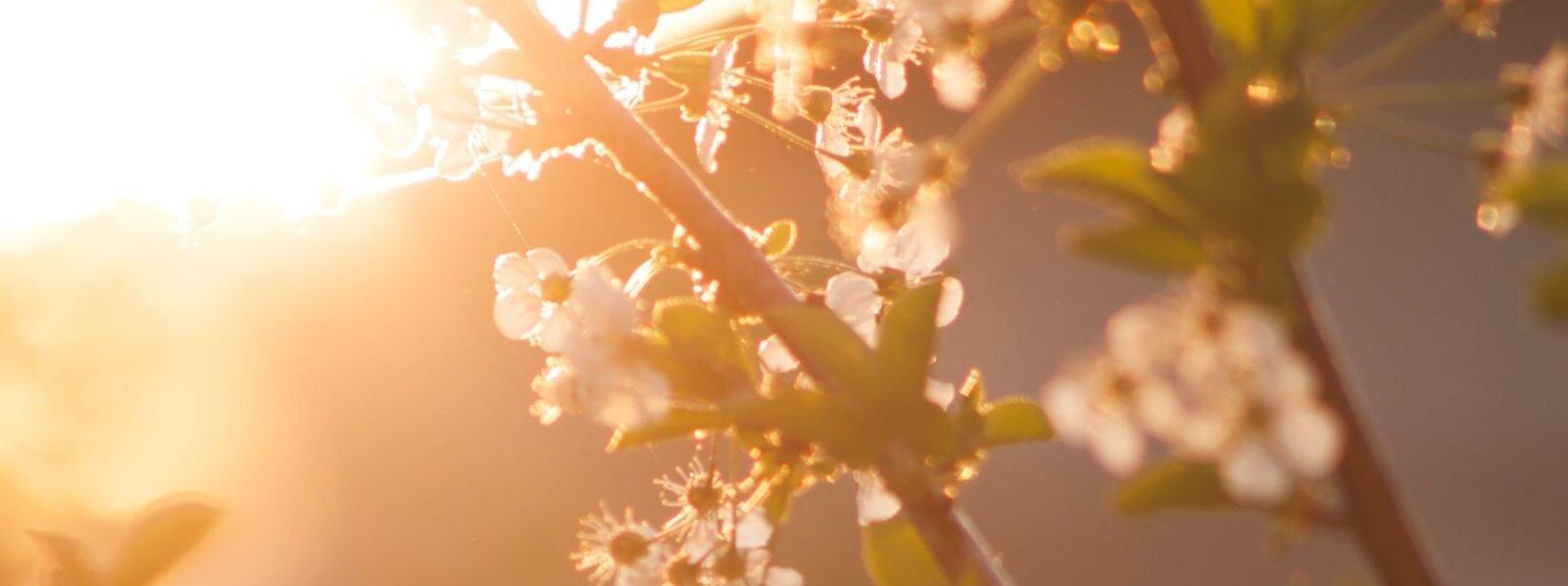 cherry-blossom-flowers-nature-72473-e1551840825156-1600x598.jpg